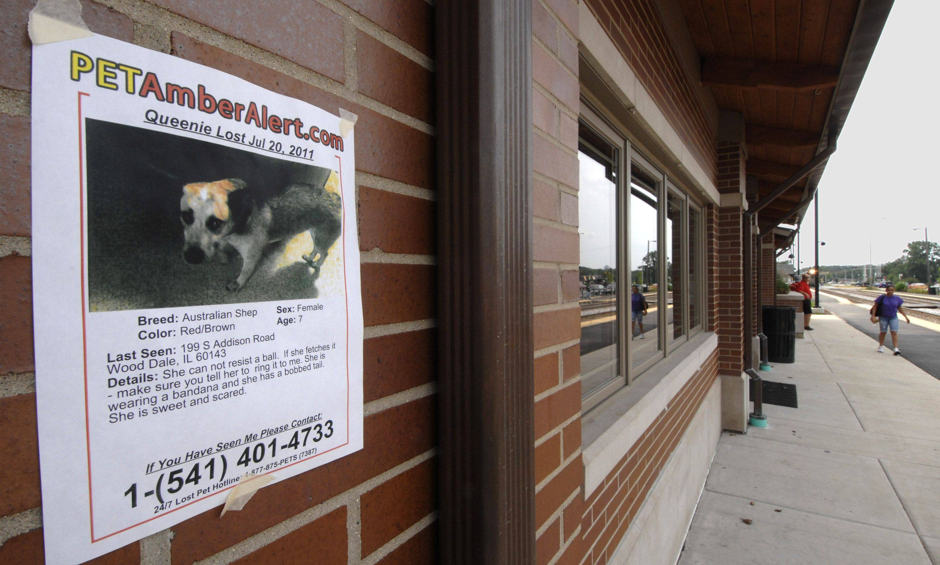 Flyers are on display in Wood Dale at the train station and at other locations to encourage people to be on the lookout for Queenie, an Australian Shepherd dog who got loose from her owner in July.