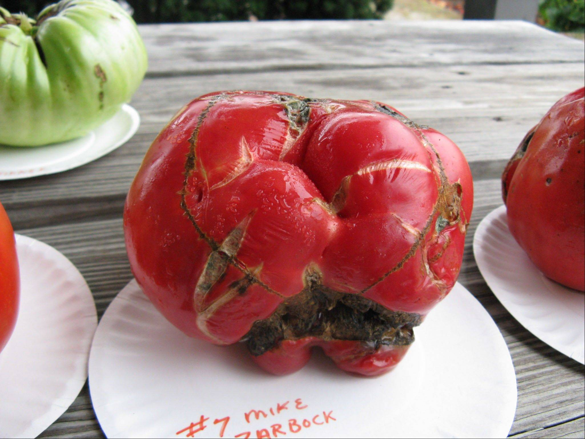 """Frankenmato"" was one of the ugliest tomatos in a recent contest for the largest tomato, organized by the Dundee Township Visitor's Center. While it didn't win any prizes, an organizer joked that judges should hand out awards for the ugliest tomato."