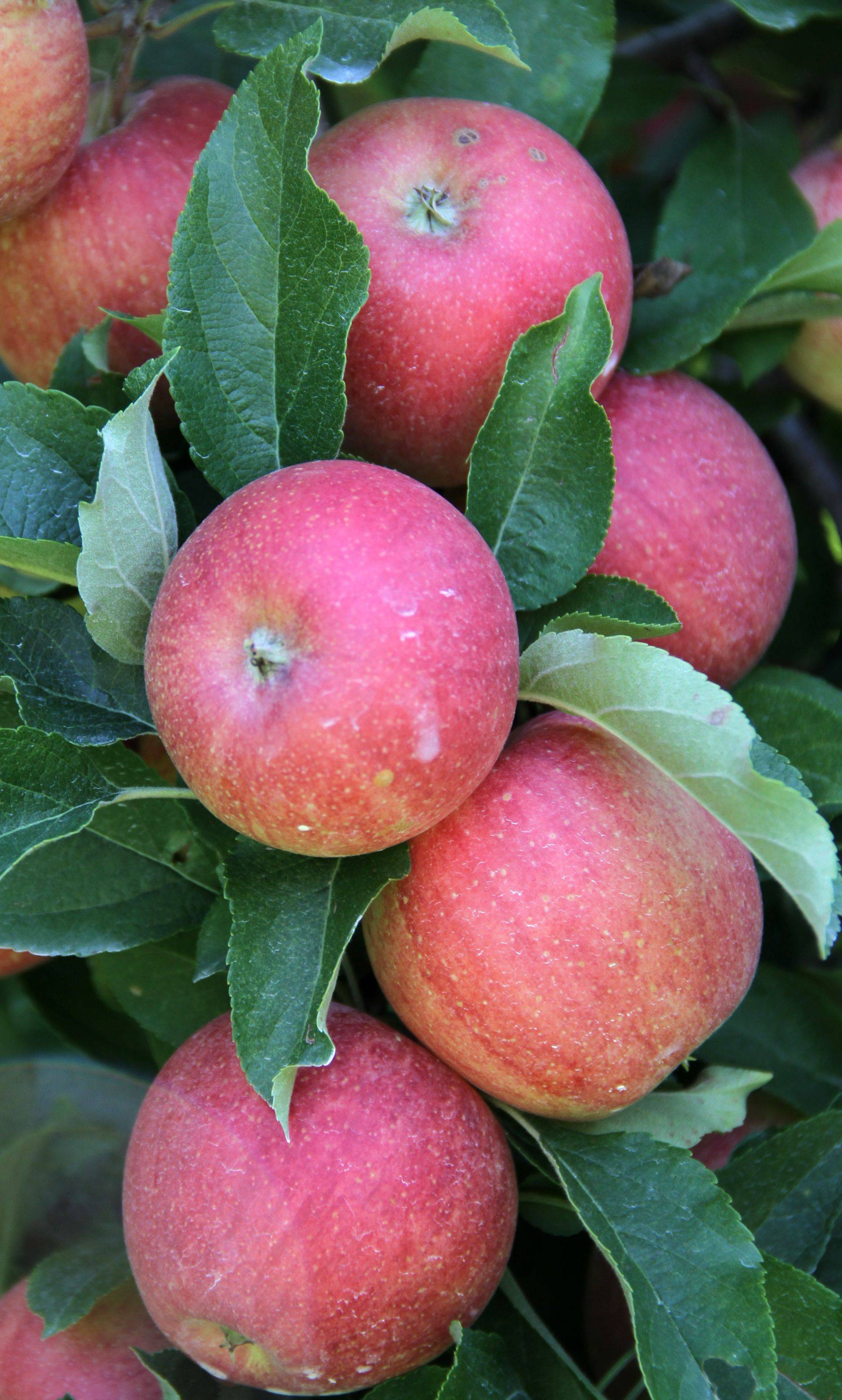 Gala apples are among the varieties available for picking at Homestead Orchard in Woodstock.