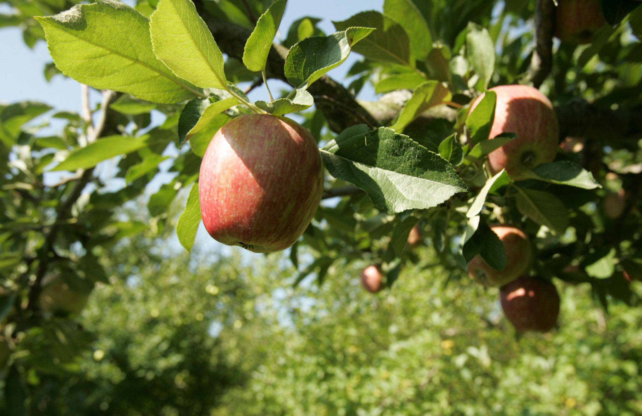 A number of different apple varieties will soon be ripe for the picking at More Than Delicious apple orchard in Woodstock.