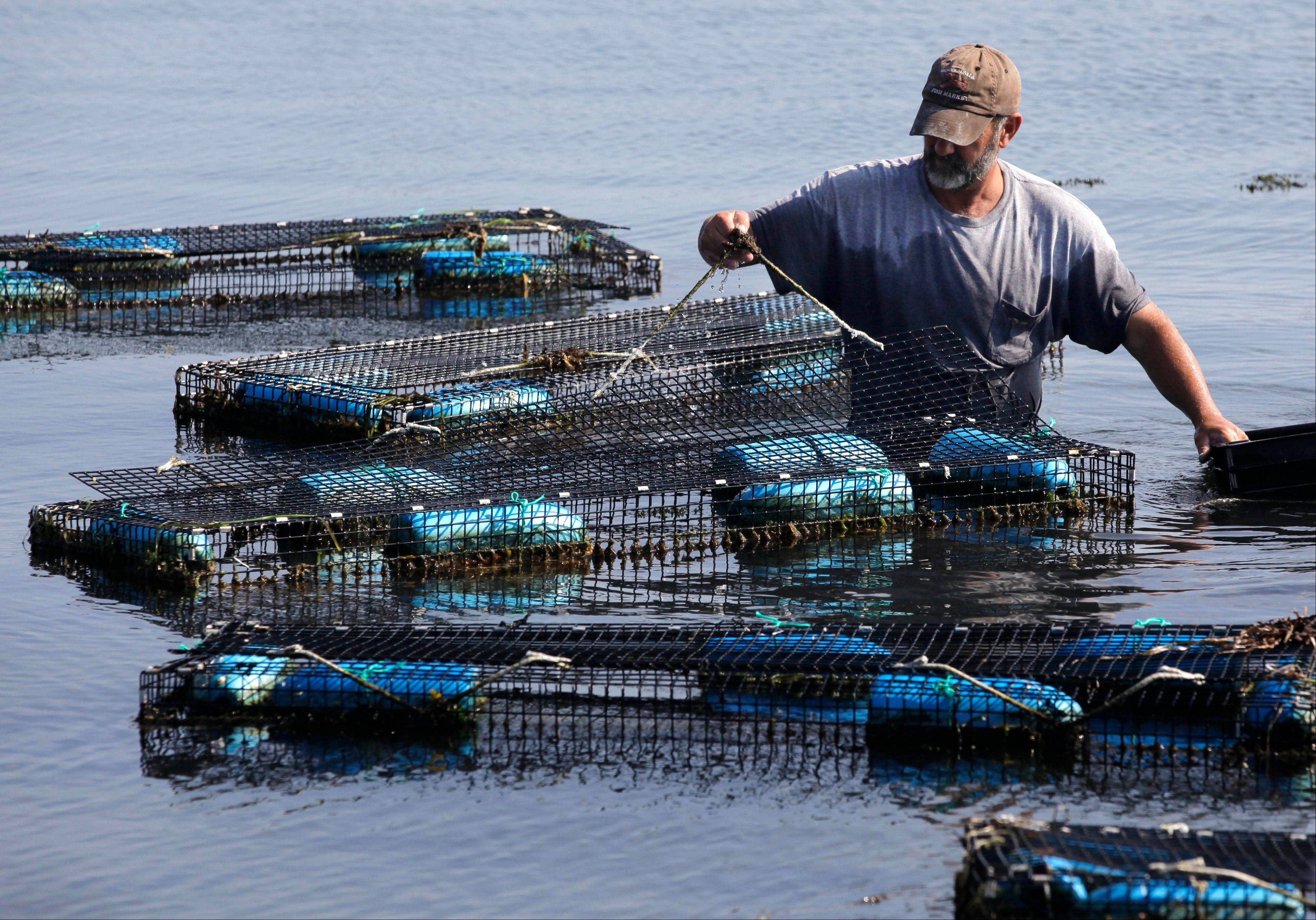 Fisherman Bill Sweeney, of Vineyard Haven, Mass., collects adult scallops from cages in Lagoon Pond, in Vineyard Haven, on the island of Martha's Vineyard, Friday, Aug. 26, 2011. Sweeney removed the scallops, where they were placed to spawn, to be released back in the wild in advance of Hurricane Irene. The scallops could be killed if left in the traps during a hurricane.