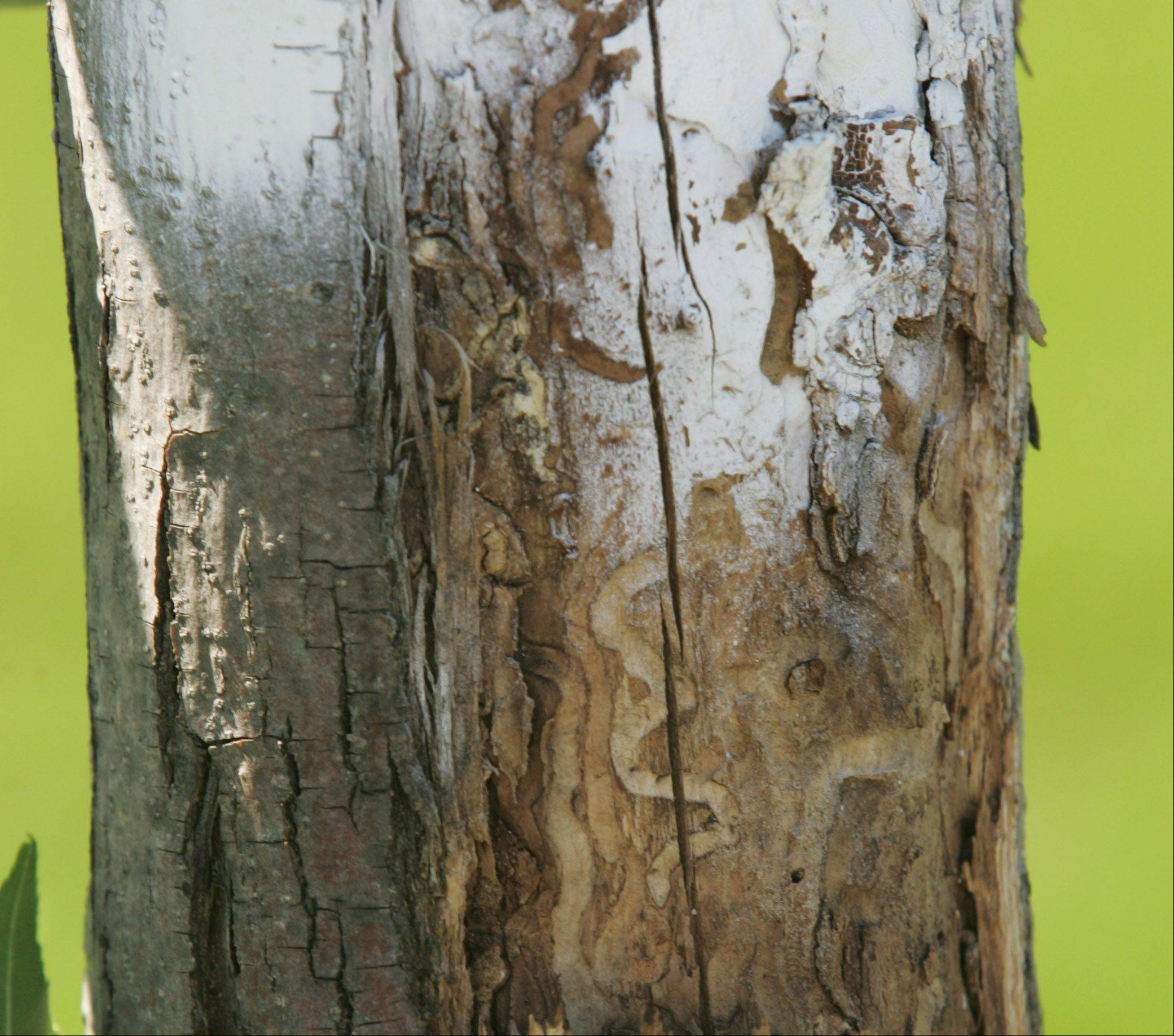 The emerald ash borer has made its way to Carpentersville, infecting several trees along Alexandria Lane on the west side of the village.