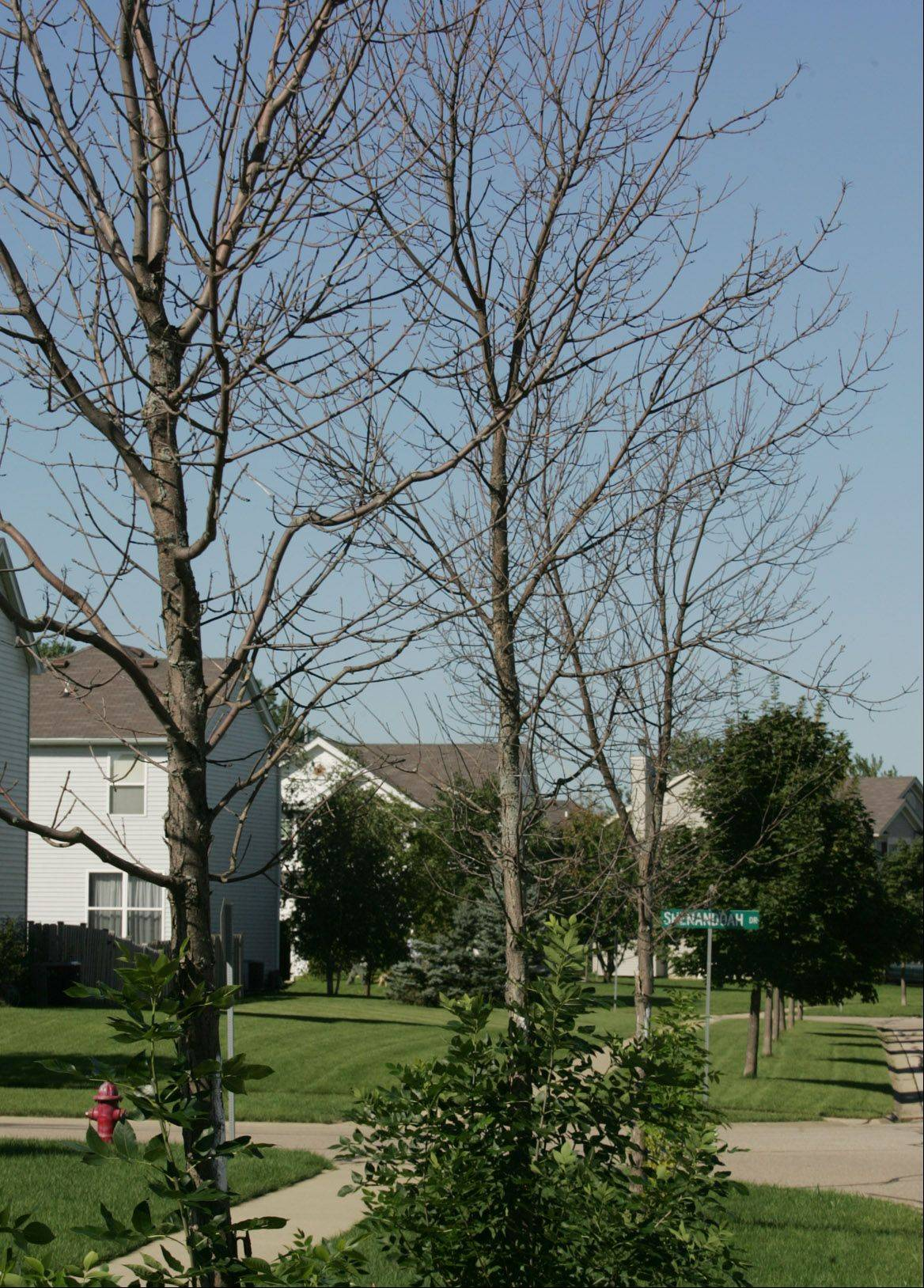 The emerald ash borer has made its way to Carpentersville, feasting on these three trees along Alexandria Lane.