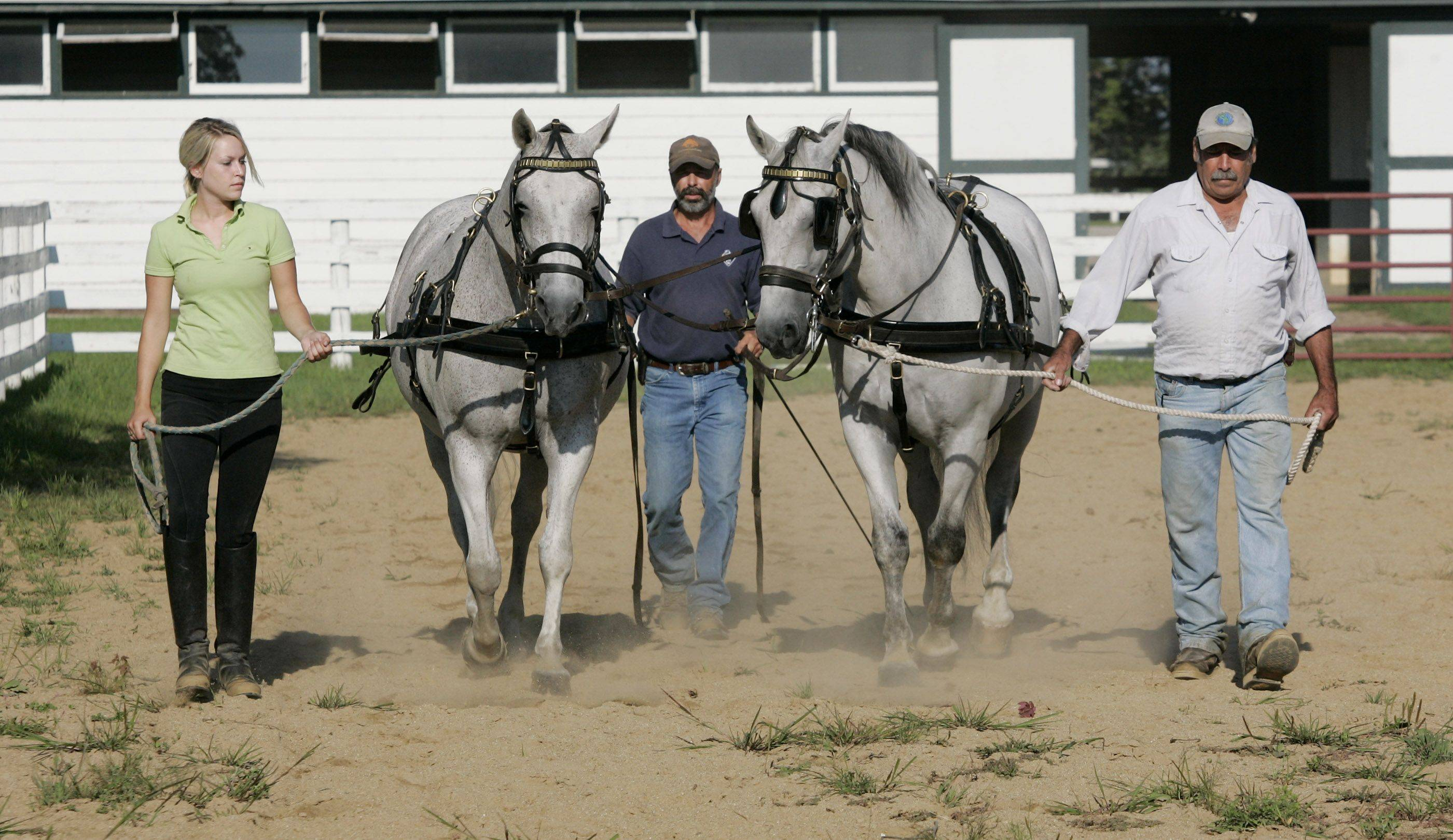 Working student Jennifer Babcock, left, herd manager Jeff LaDue, and trainer Reymundo Andrade-Estrada work with Favory V Almira and Alfaya to become a paired carriage driving team at Tempel Farms.