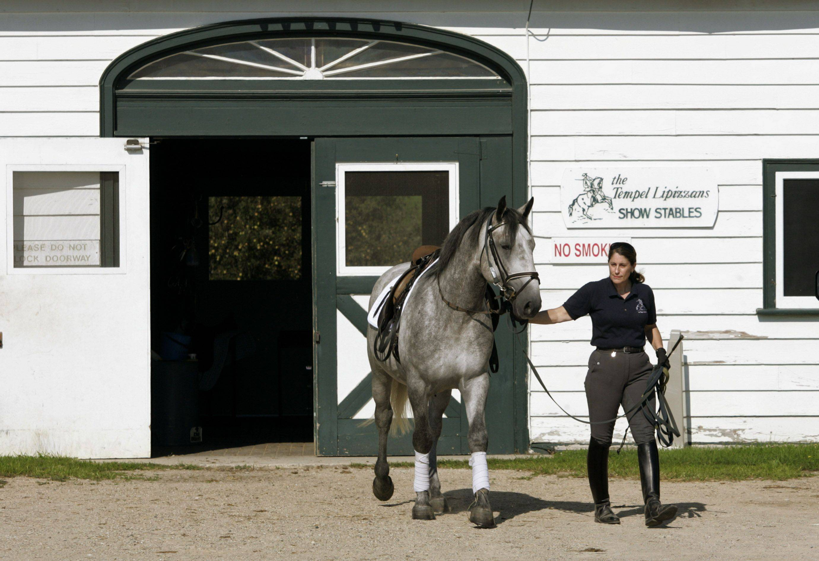 Dressage trainer Eliza Ardizzone walks out with four-year-old Favory VII Anita out of the show stable.