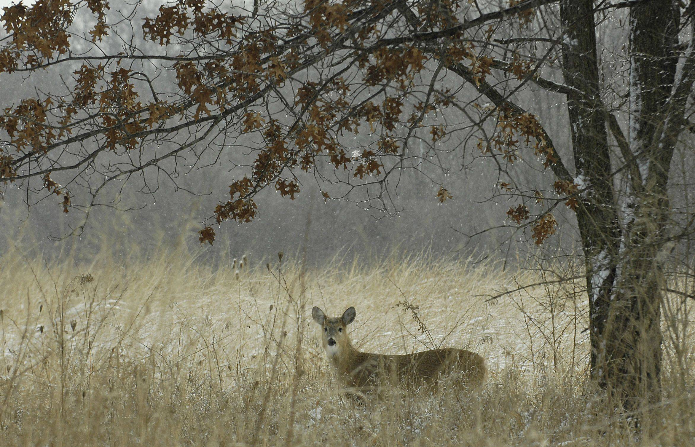 A white-tailed deer browses in LeRoy Oakes Forest Preserve in St. Charles.