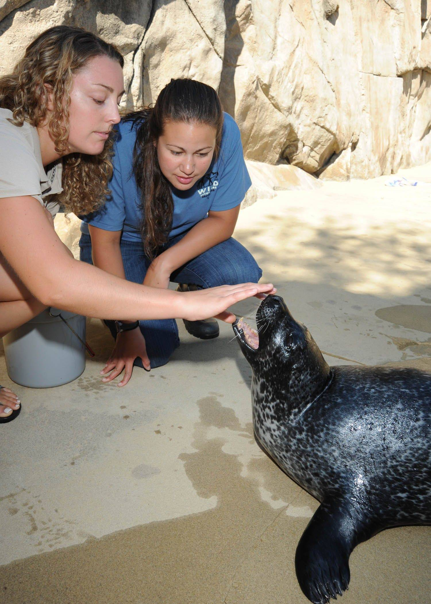 "A participant in the ""Flippered Friends"" Wild Encounter program at Brookfield Zoo watches as a zookeeper checks a harbor seal's teeth."