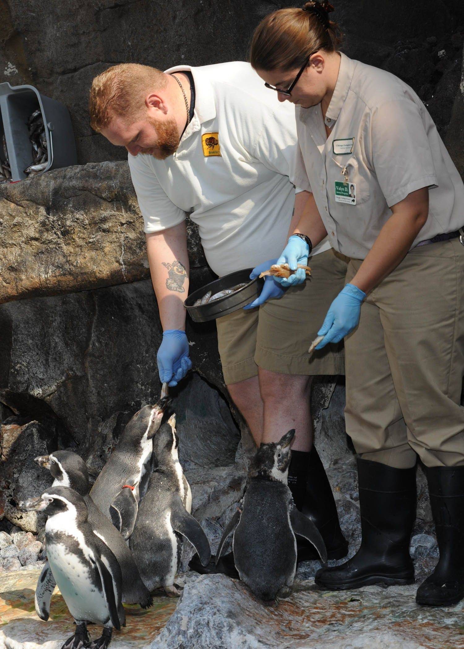 "A participant in the ""Poolside With Penguins"" Wild Encounter program at Brookfield Zoo helps a zookeeper feed fish to the Humboldt penguins."