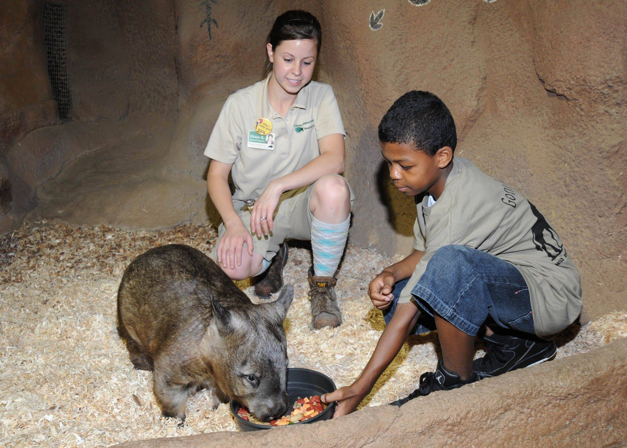 "A young zoo enthusiast feeds a southern hairy-nosed wombat in Brookfield Zoo's Australia House during a ""Marvelous Marsupials"" Wild Encounters session."