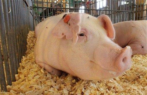 A hog from the Unger Show Pigs Farm in Lincoln, Ill., waits for the competition Aug. 8 at the Illinois State Fairgrounds in Springfield.