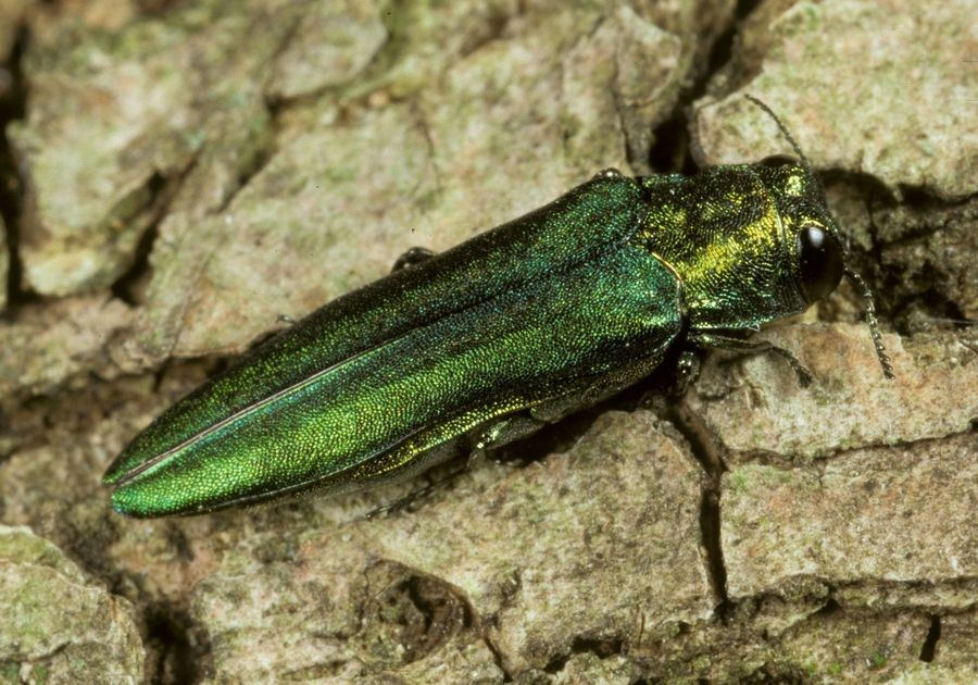 This is emerald ash borer.