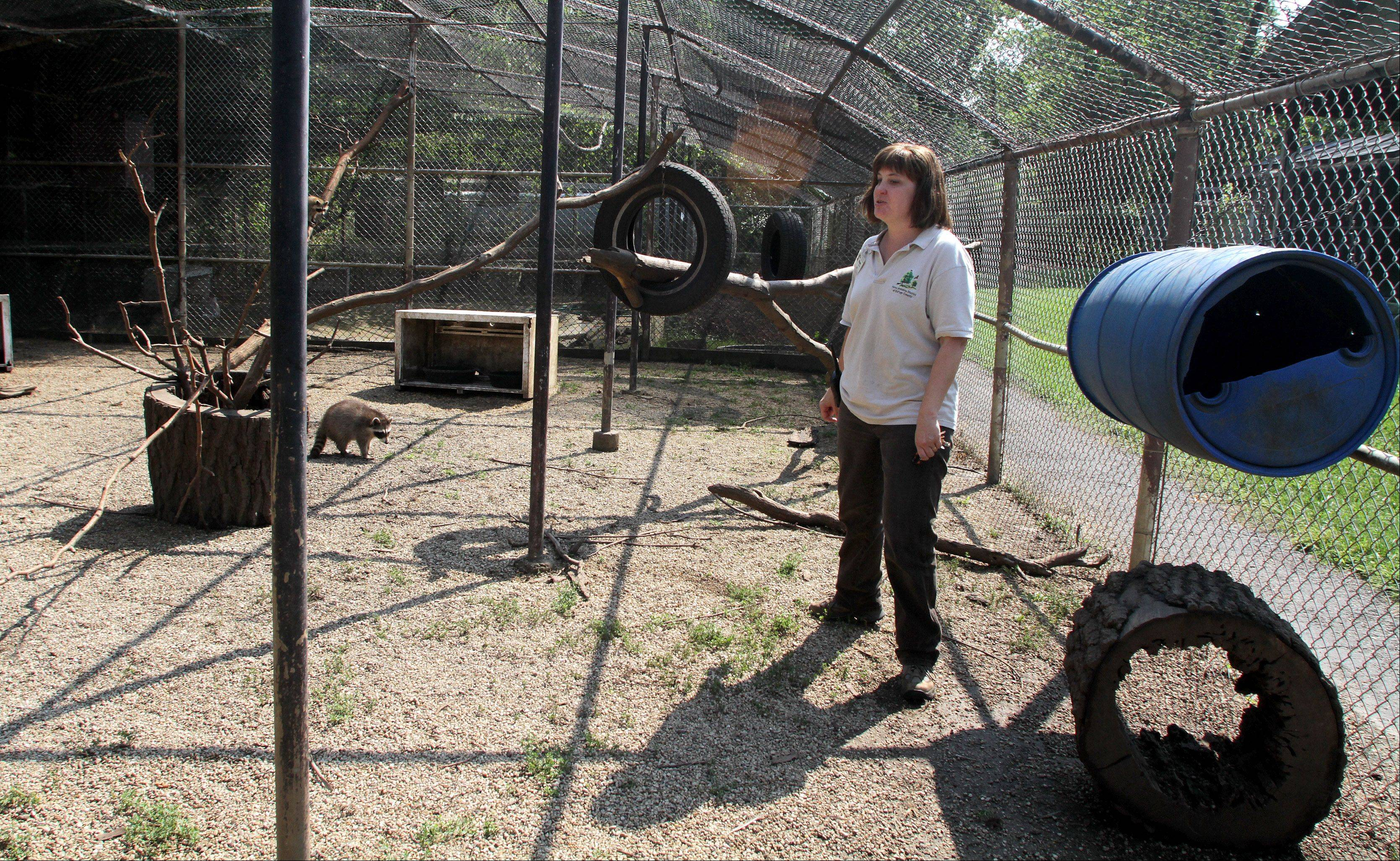Wildlife specialist Rose Augustine takes a look around a raccoon cage in the outdoor rehab area at the Willowbrook Wildlife Center in Glen Ellyn. Animals spend time here in the weeks and months before they are released into the wild.