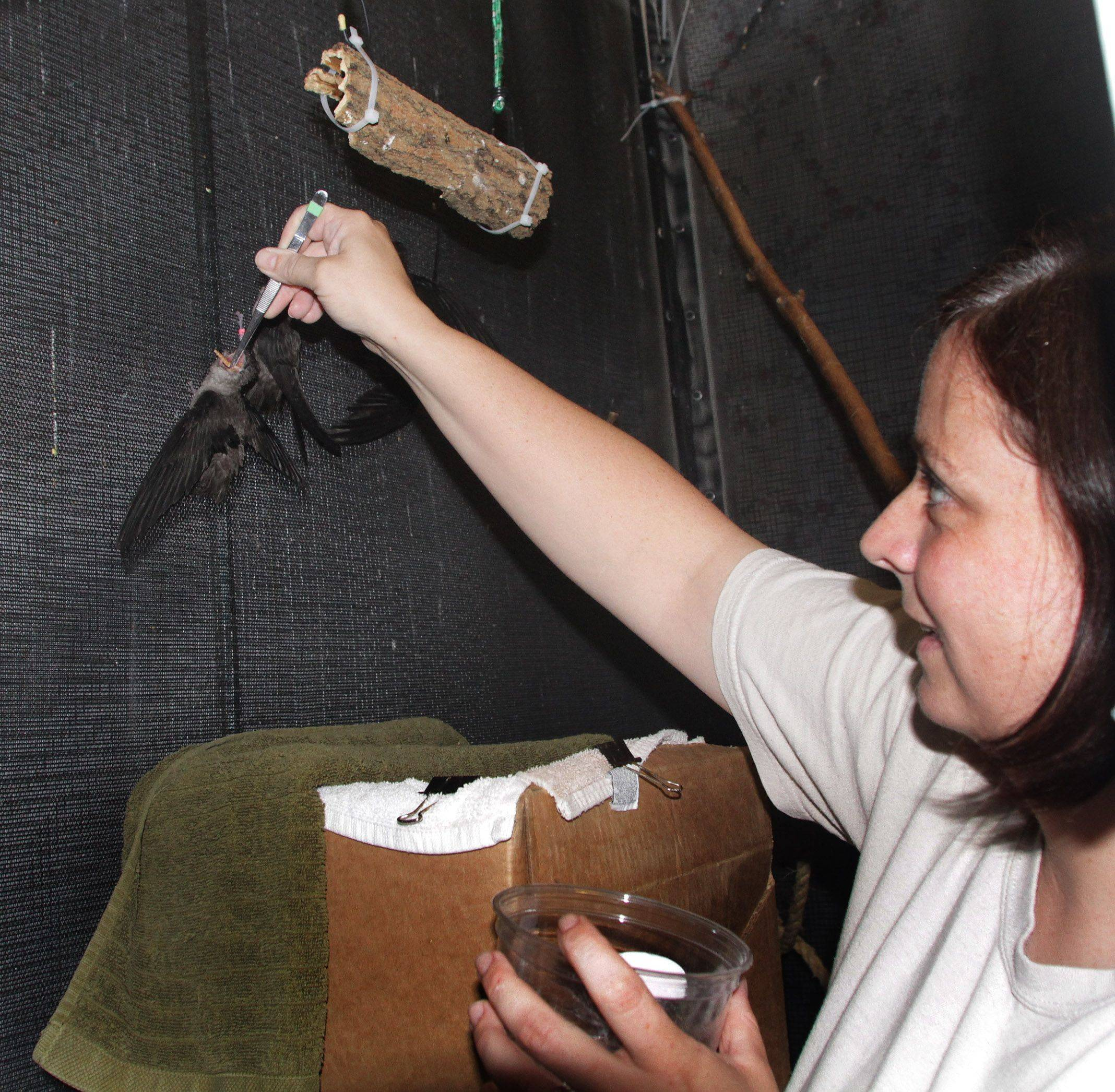 Jenny Theuman, a seasonal keeper, feeds chimney swifts vitamin and nutrient-enriched mealworms at the Willowbrook Wildlife Center.
