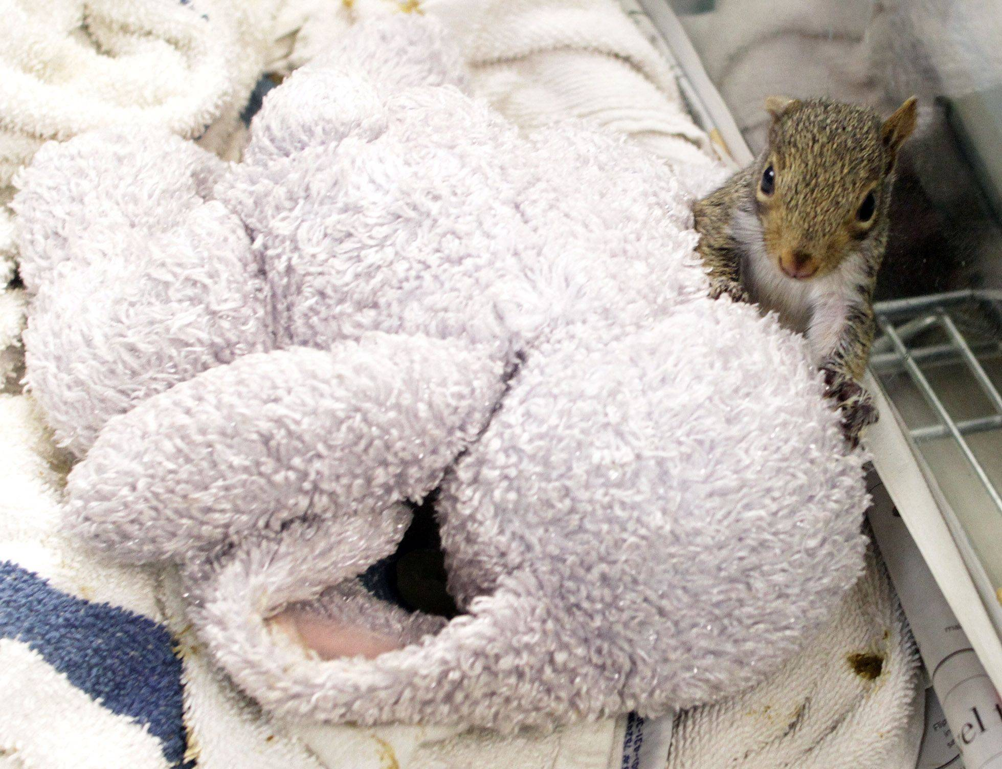 A squirrel about four weeks old sits beside a stuffed animal, which provides a hiding place and comfort during his care at the Willowbrook Wildlife Center in Glen Ellyn.