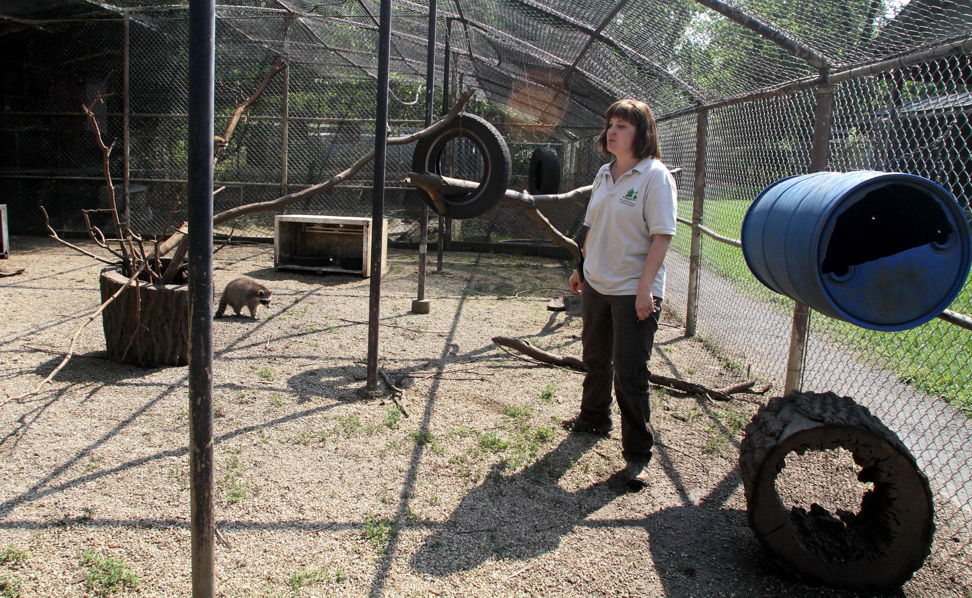 Wildlife specialist Rose Augustine takes a look around a raccoon cage in the outdoor rehab area where animals spend the weeks and months before they are released to the wild.