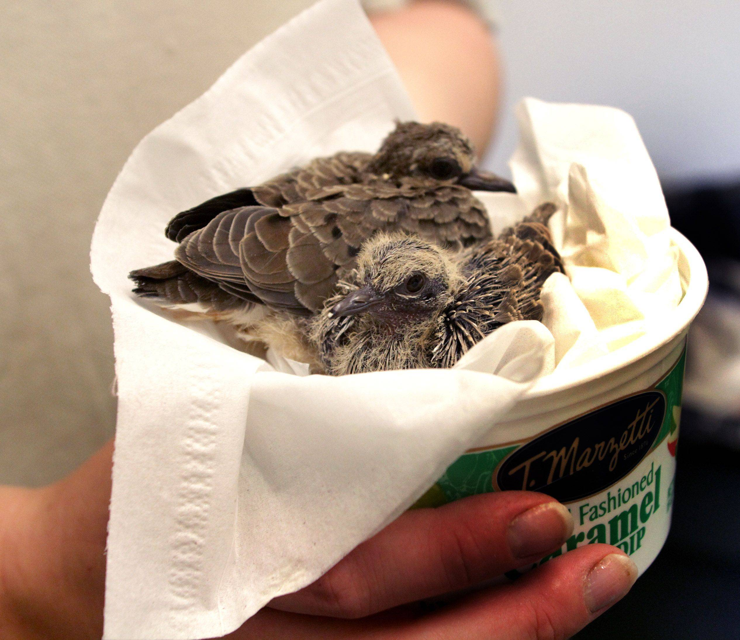 Young mourning doves get a special nest during their care at the Willowbrook Wildlife Center.