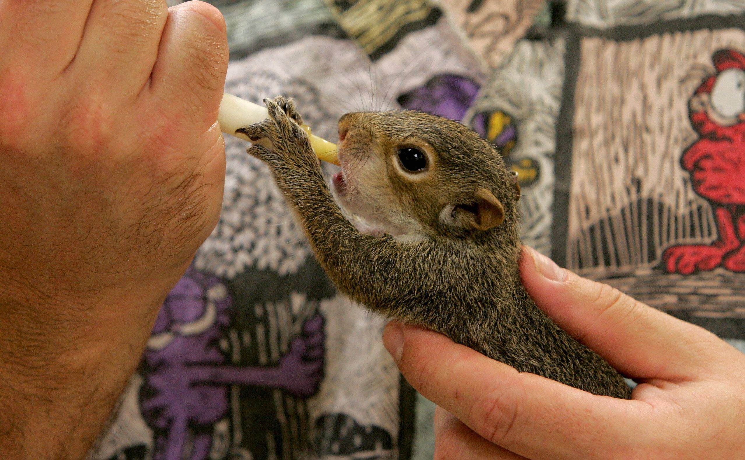 A baby squirrel is hand-fed a special formula for rodents during its care at the center.