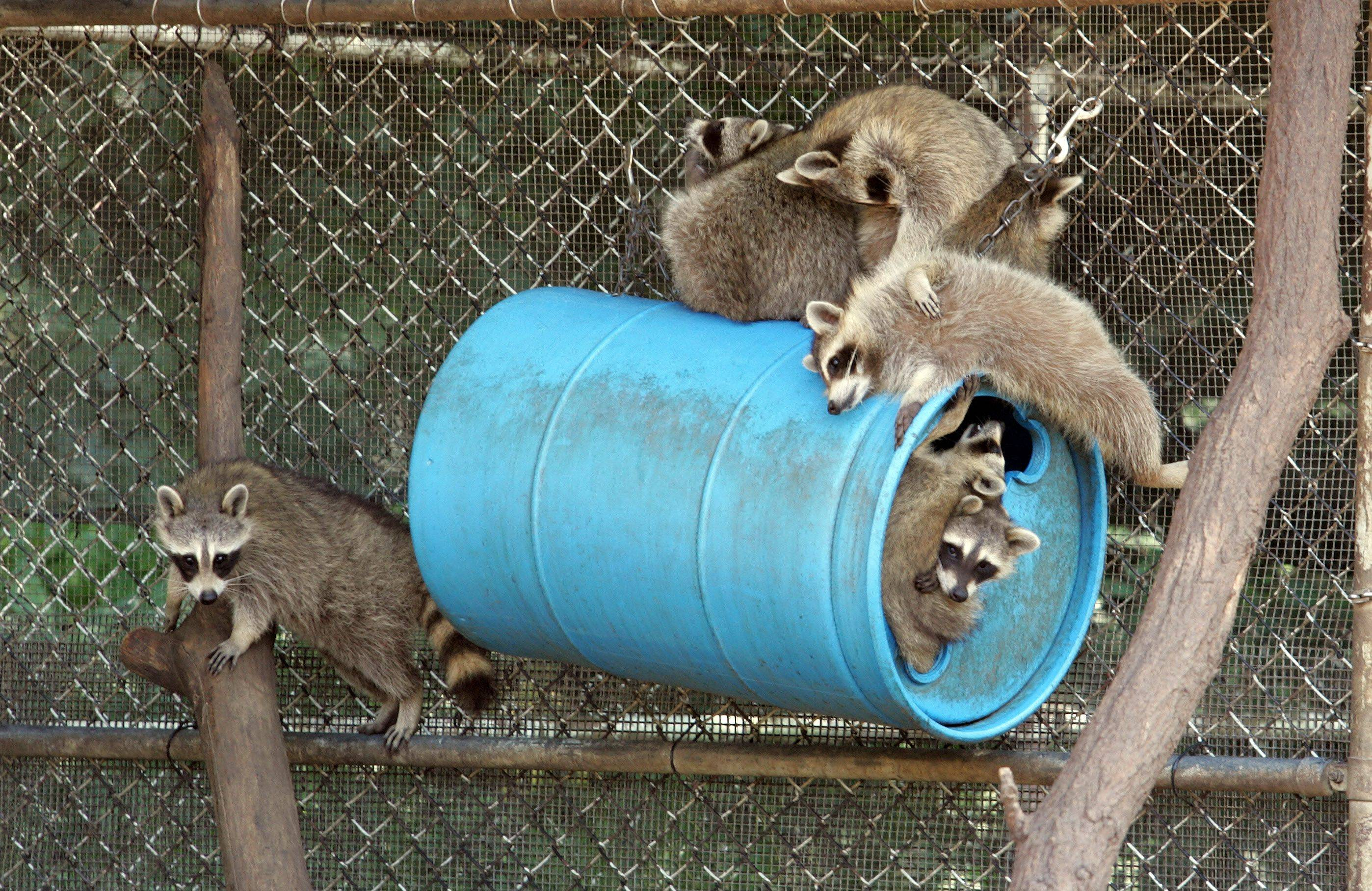 Raccoons close to being released hang out in the outdoor rehab area.