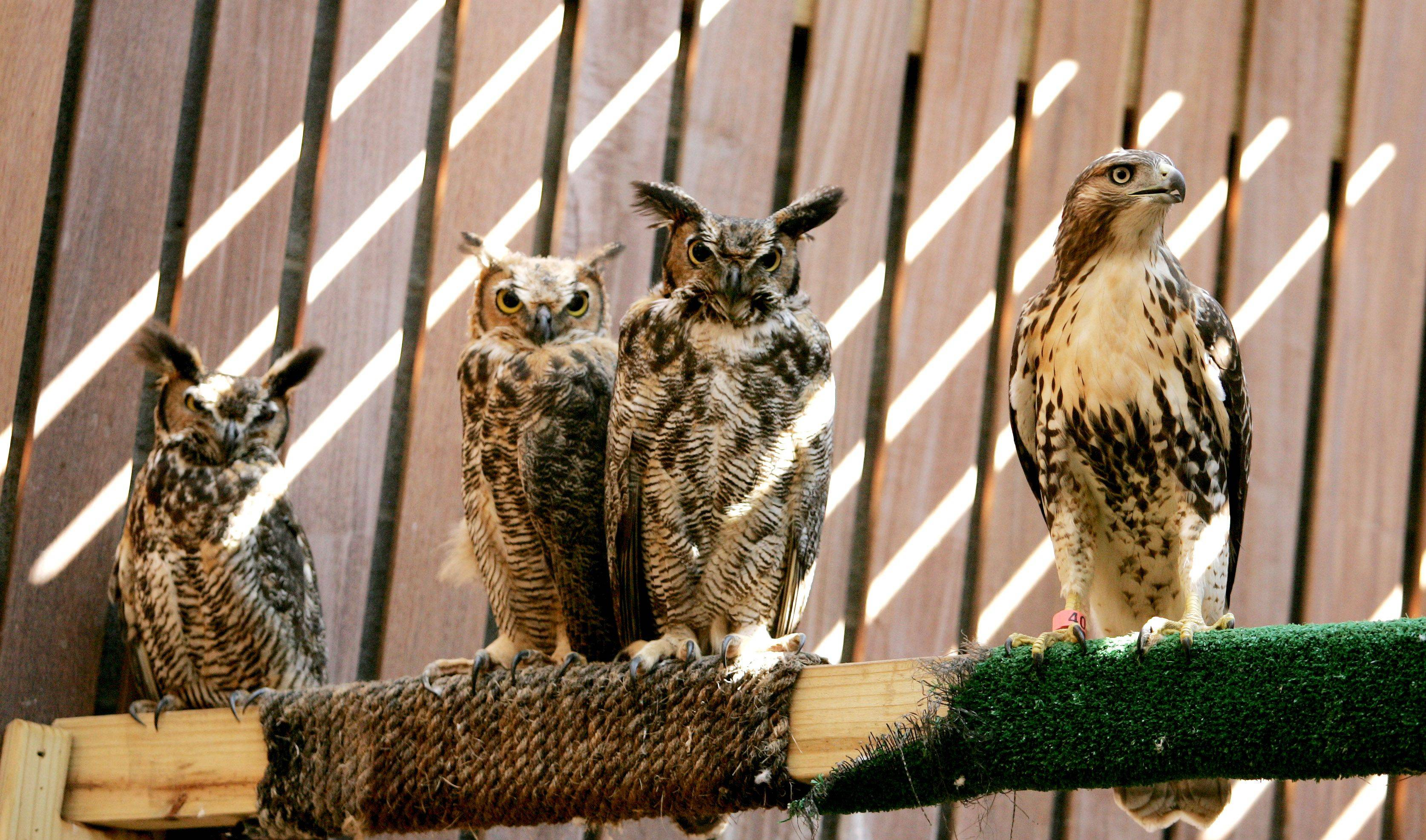 A red-tailed hawk hangs out with some great horned owls as they await their release. They spend a few weeks in the raptor flight facility before being released.