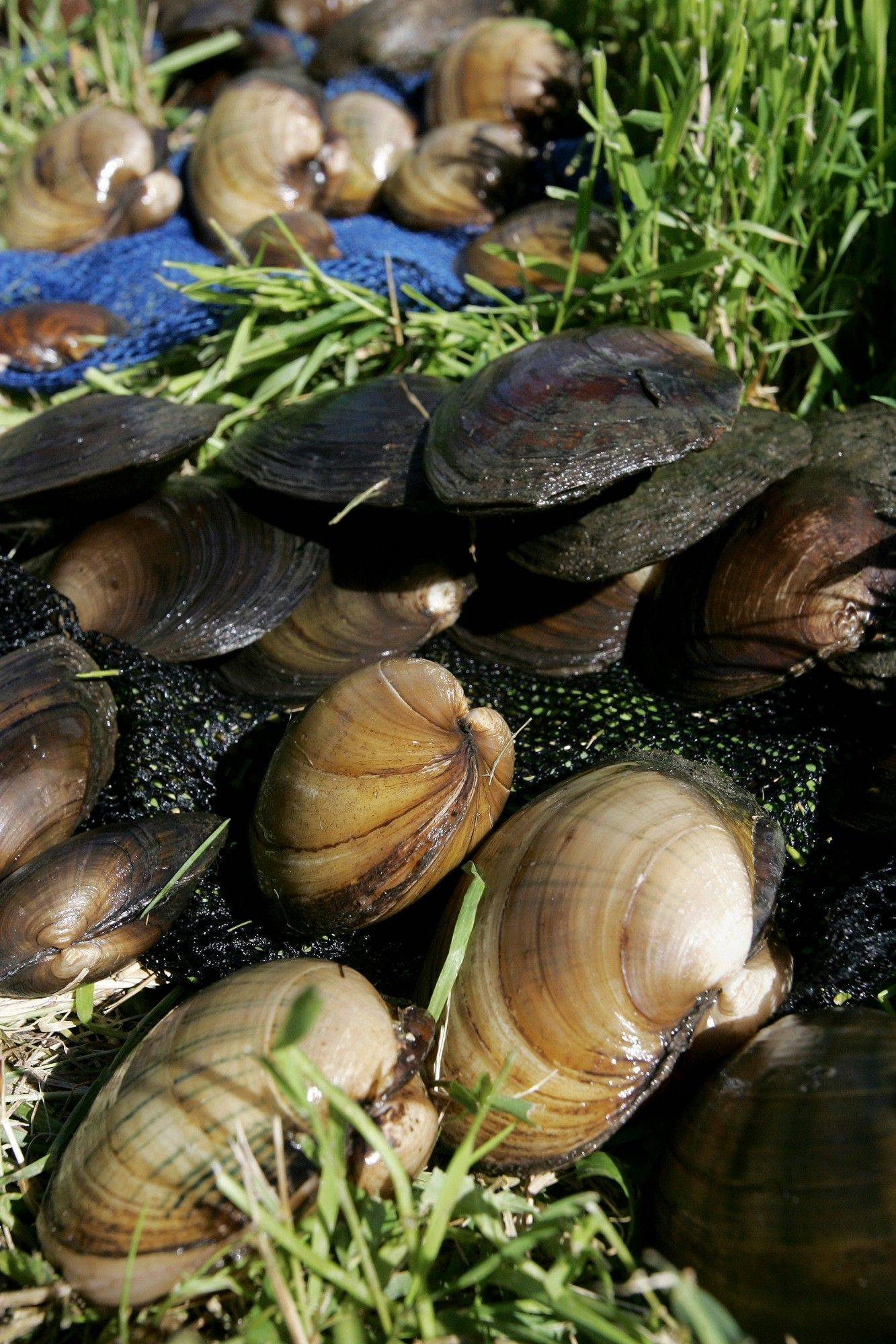 Seventy-eight mussels from nine species were found by a survey group in the Kilbuck Creek near Sycamore, Ill. The group was documenting the presence of mussels in Illinois creeks, rivers and waterways.