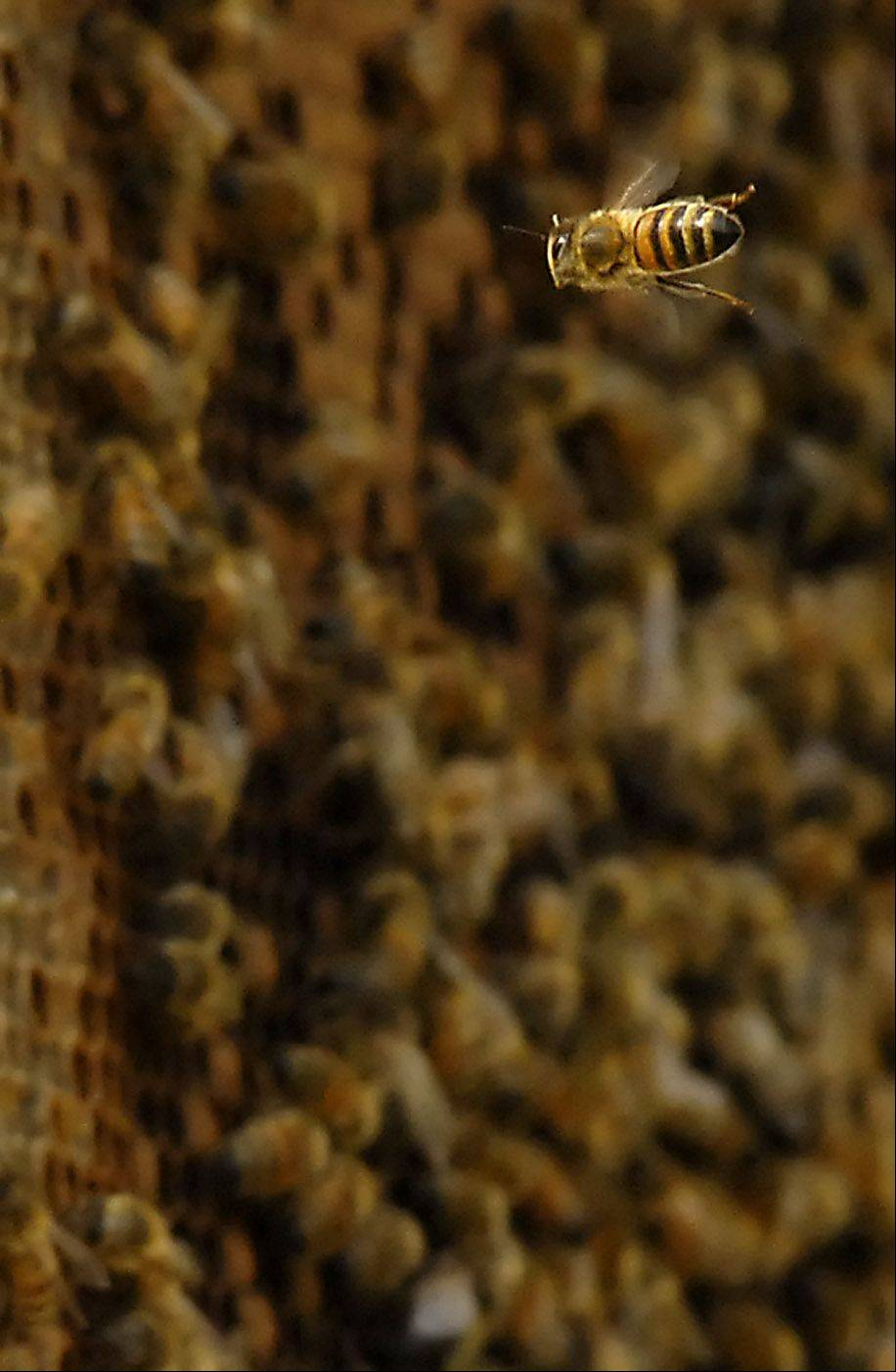 Learn the science and art of beekeeping during a three-part series at McHenry County College.