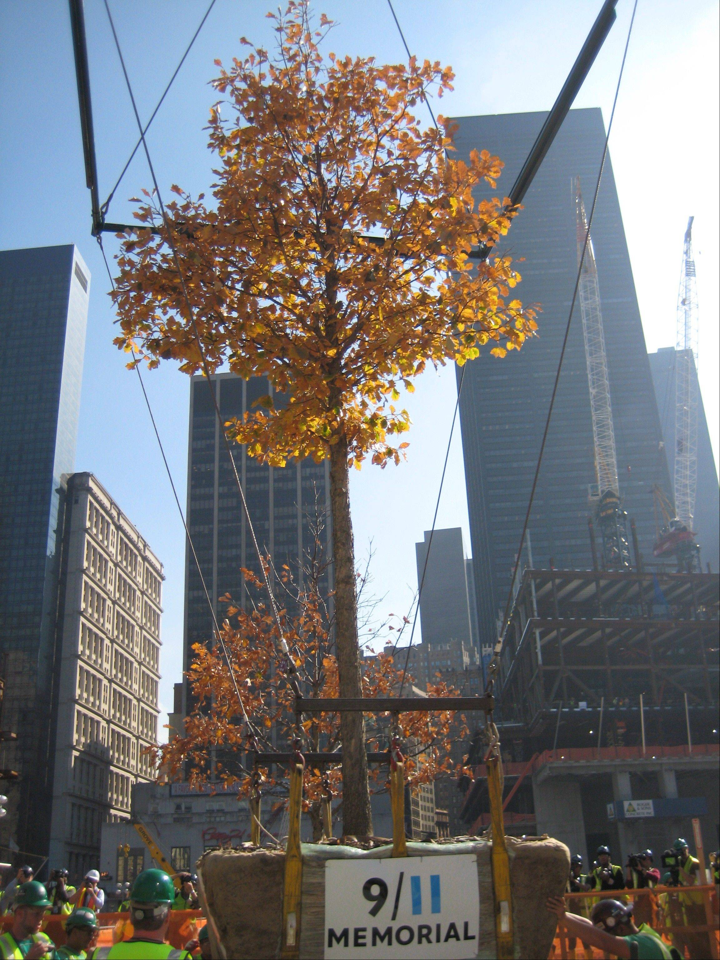 This shows an oak tree being installed at ground zero in Manhattan.