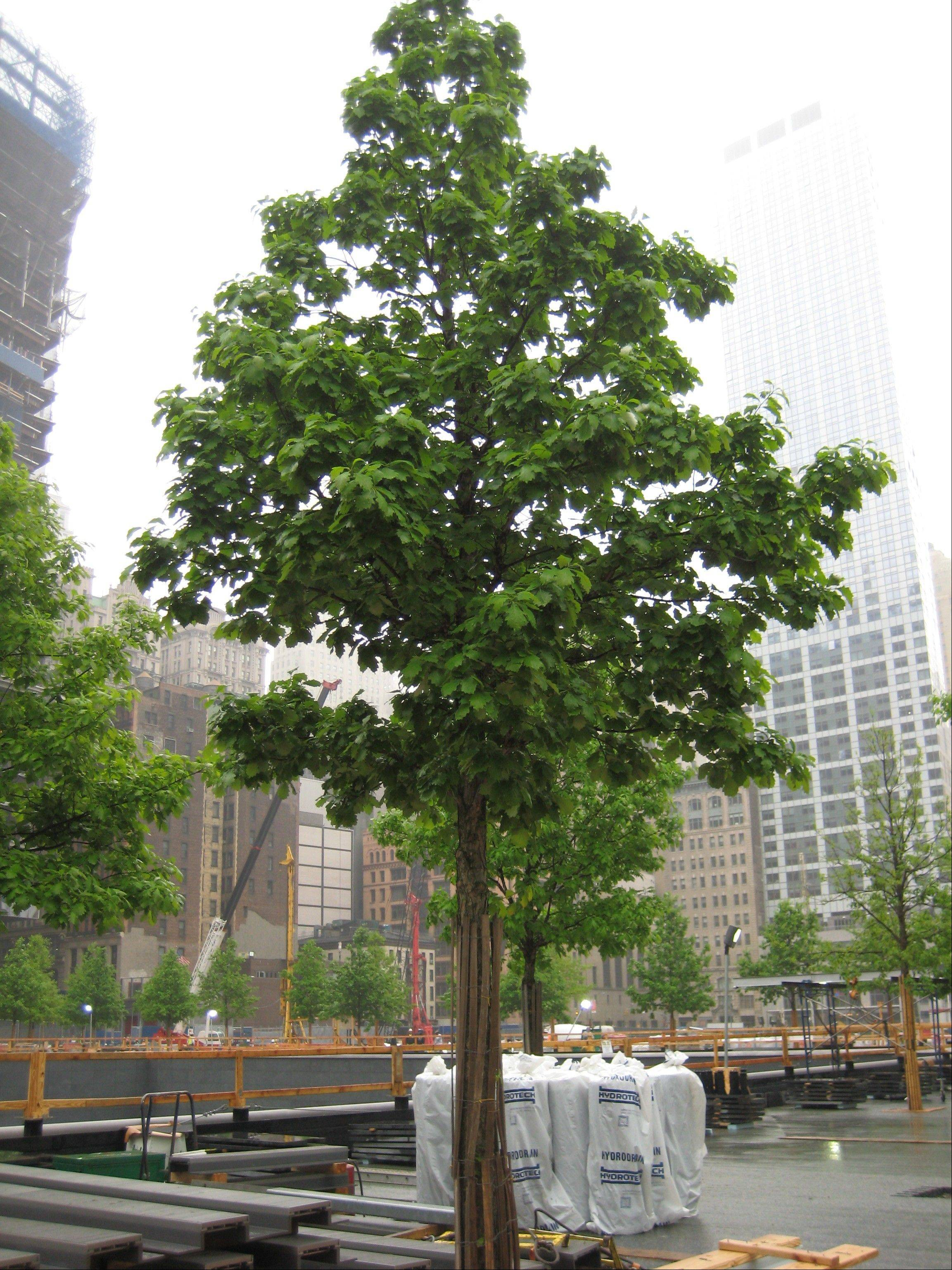 The trees at Ground Zero in Manhattan grew five years before being planted.