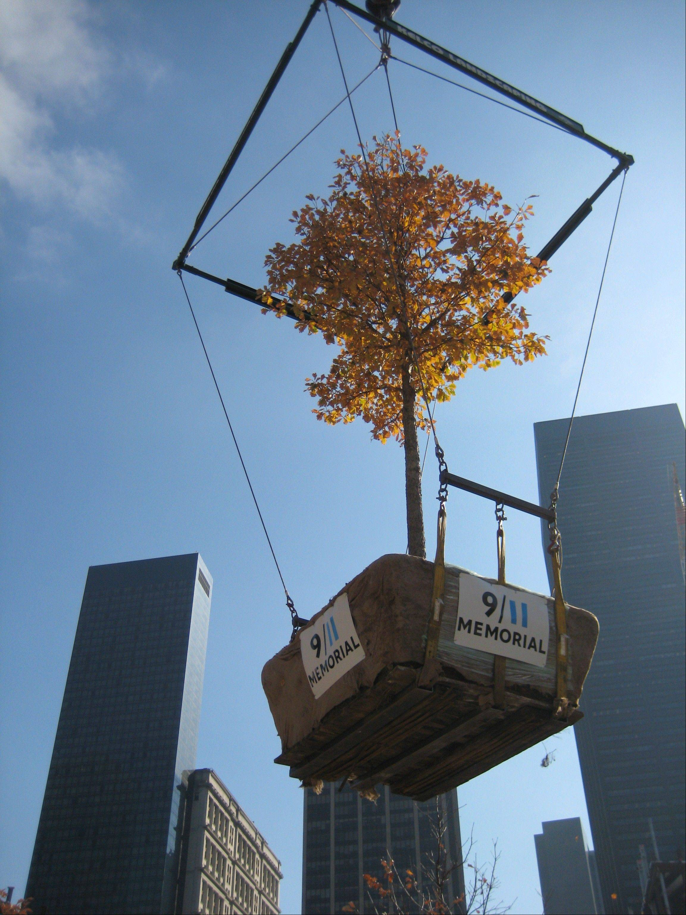 When Bartlett Tree Experts cared for the trees for the 9/11 site in Manhattan, they grew to a large size.