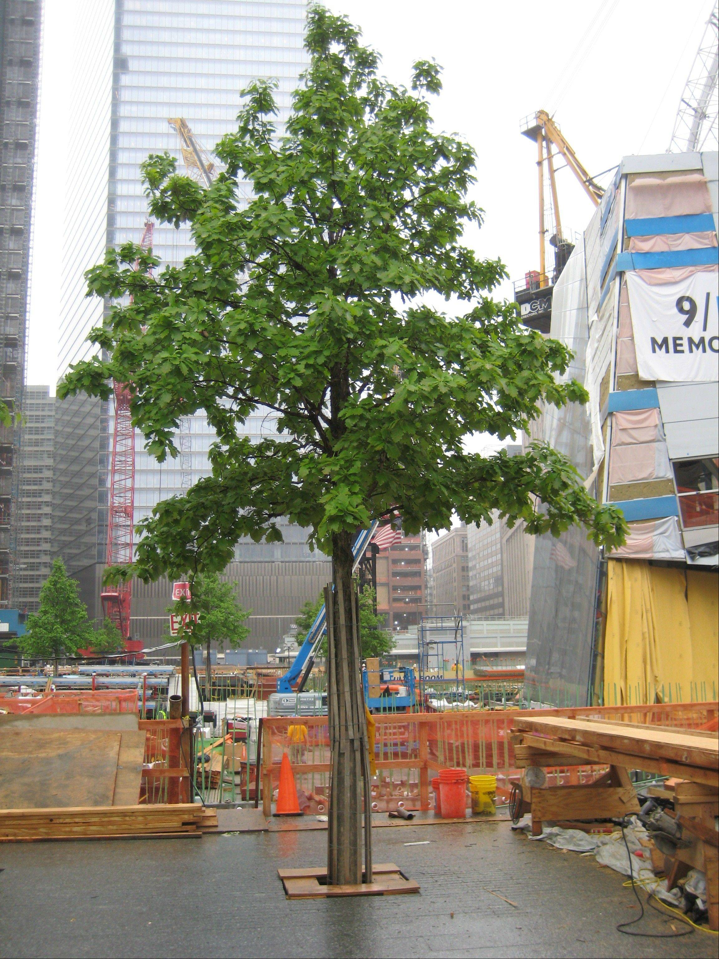The oak trees soften the appearance of the 9/11 monument in Manhattan.