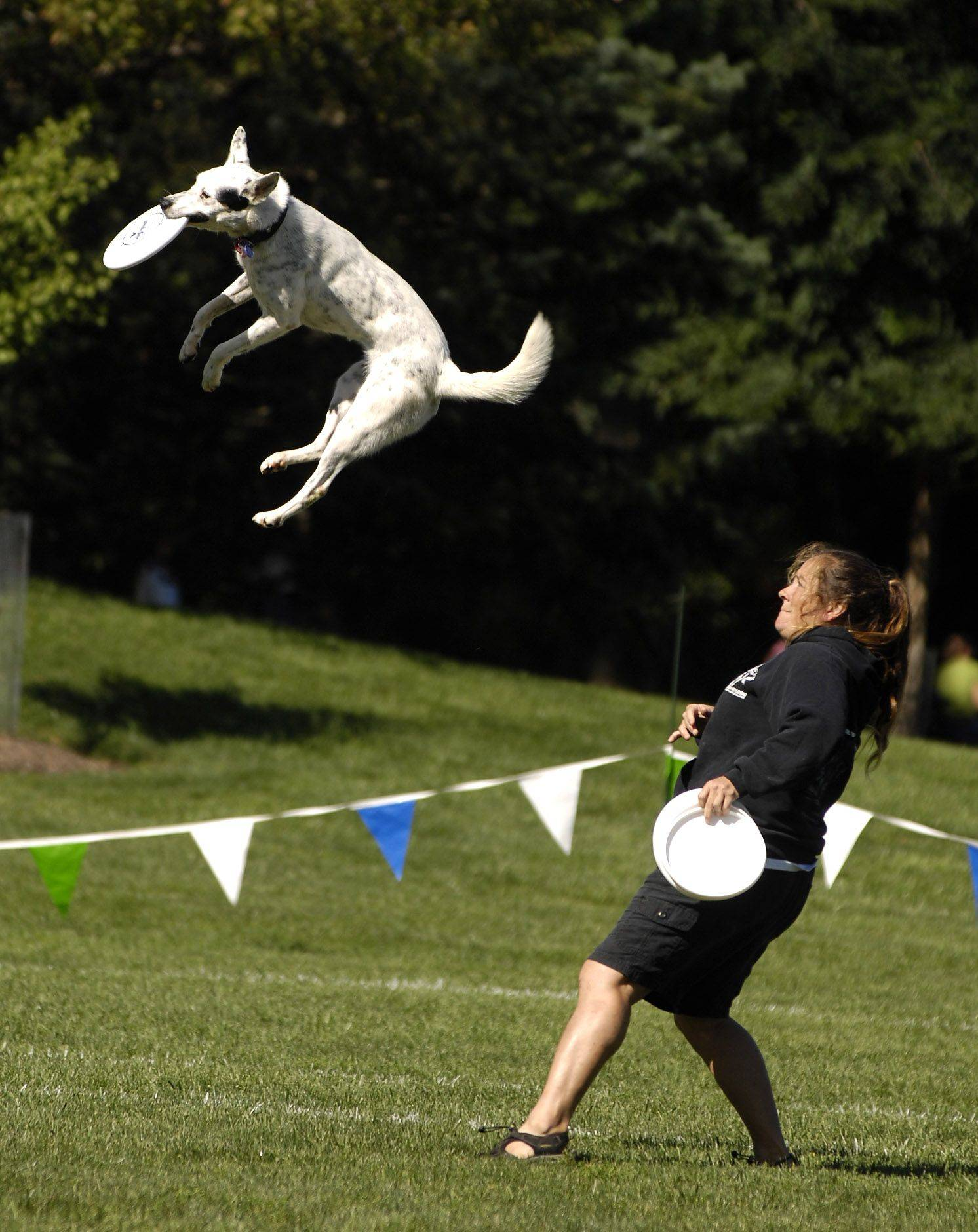 "Tracy Custer and her dog Chill, of St. Lois, MO, compete in the Ashley Whippet Invitational World Qualifier dog disc competition during Naperville's ""Last Fling""."