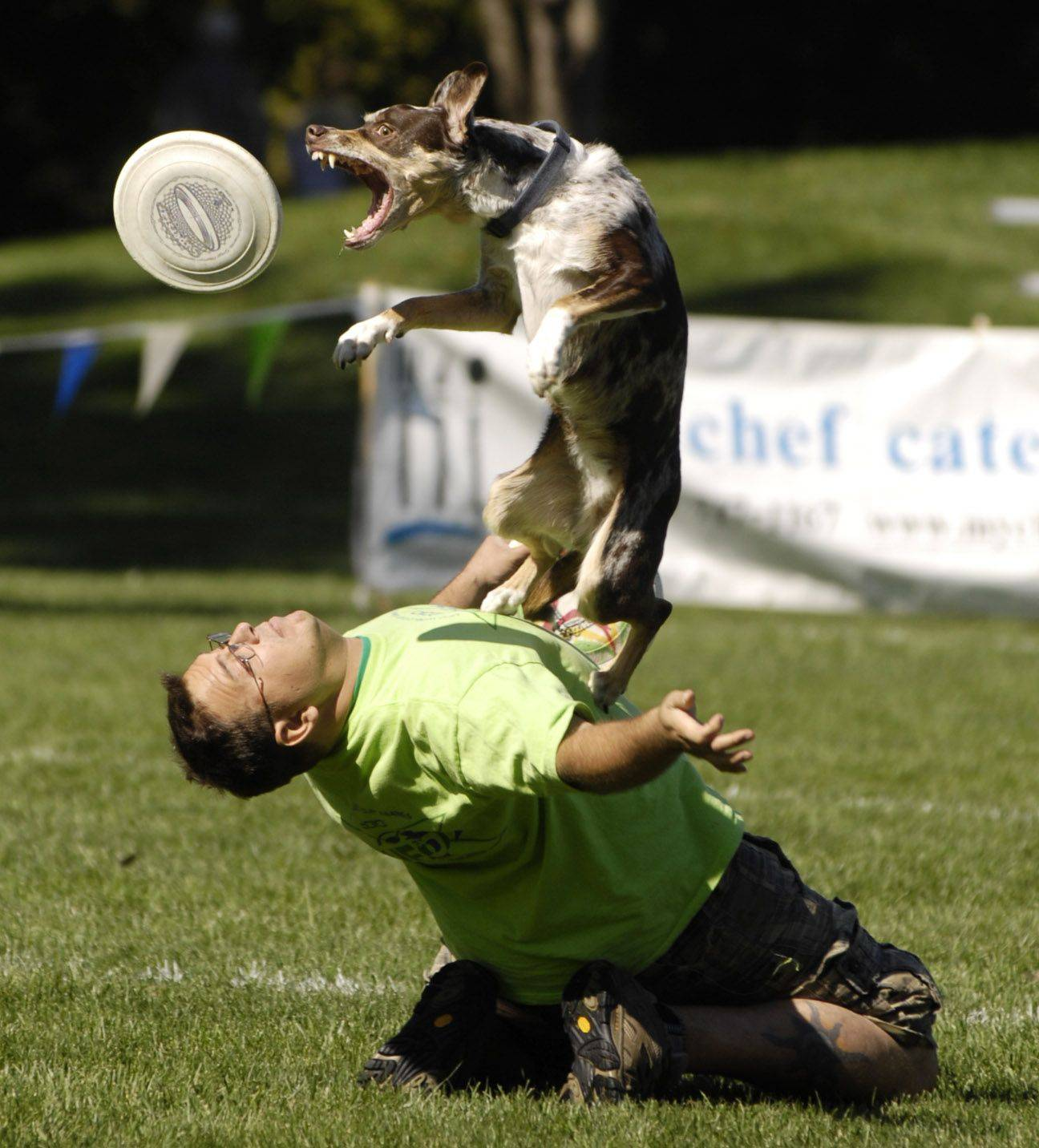 "Rob Wyka and his dog Charlie, of Palatine, compete in the Ashley Whippet Invitational World Qualifier dog disc competition during Naperville's ""Last Fling""."