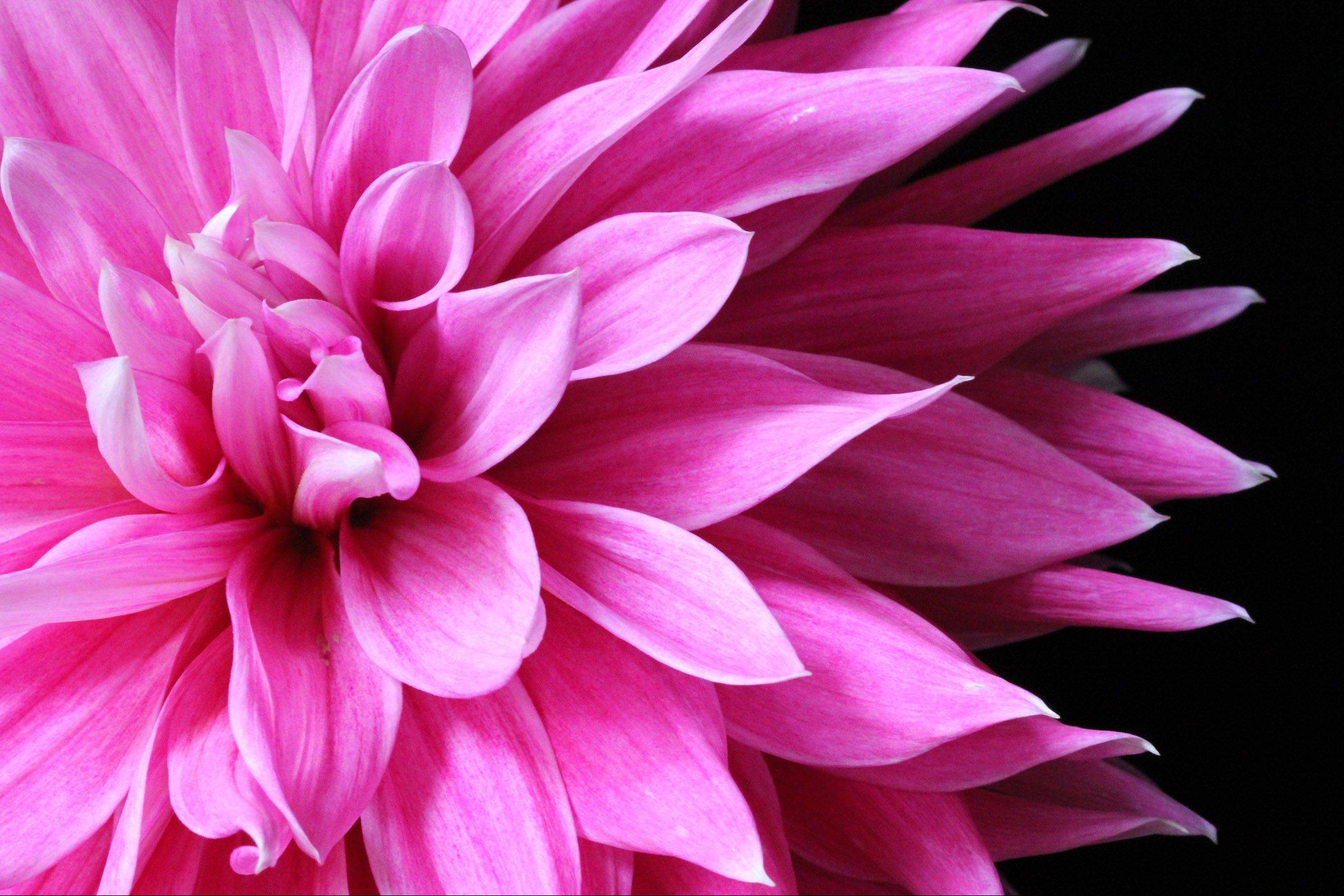 This is a photo of a beautiful Dahlia from my neighbors yard. I wanted to capture it�s beauty before the end of the season.