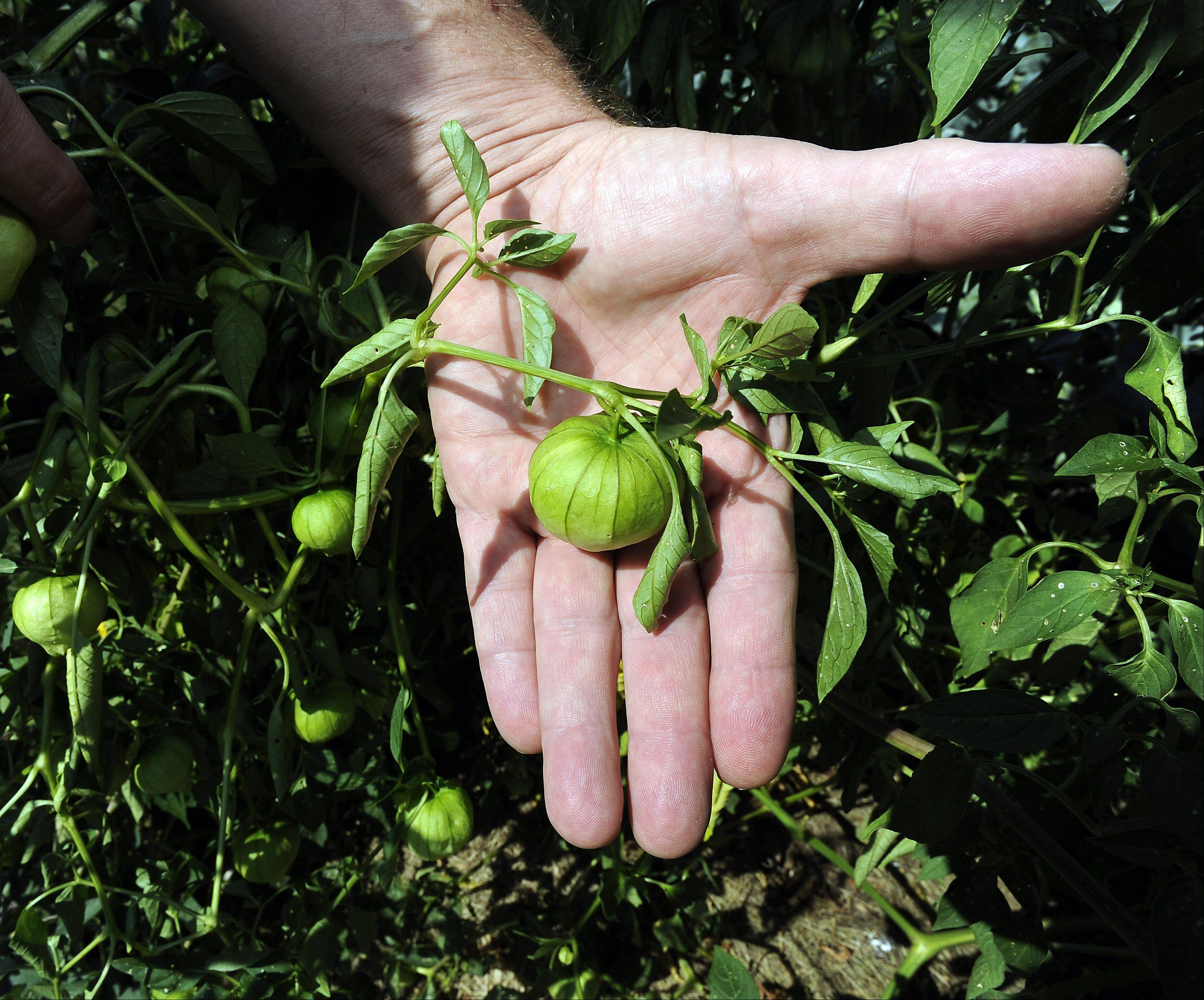 Gardeners at Presbyterian Church of Palatine are learning how to grow a few new crops this year, including tomatillos, which can be used in salsa verde.