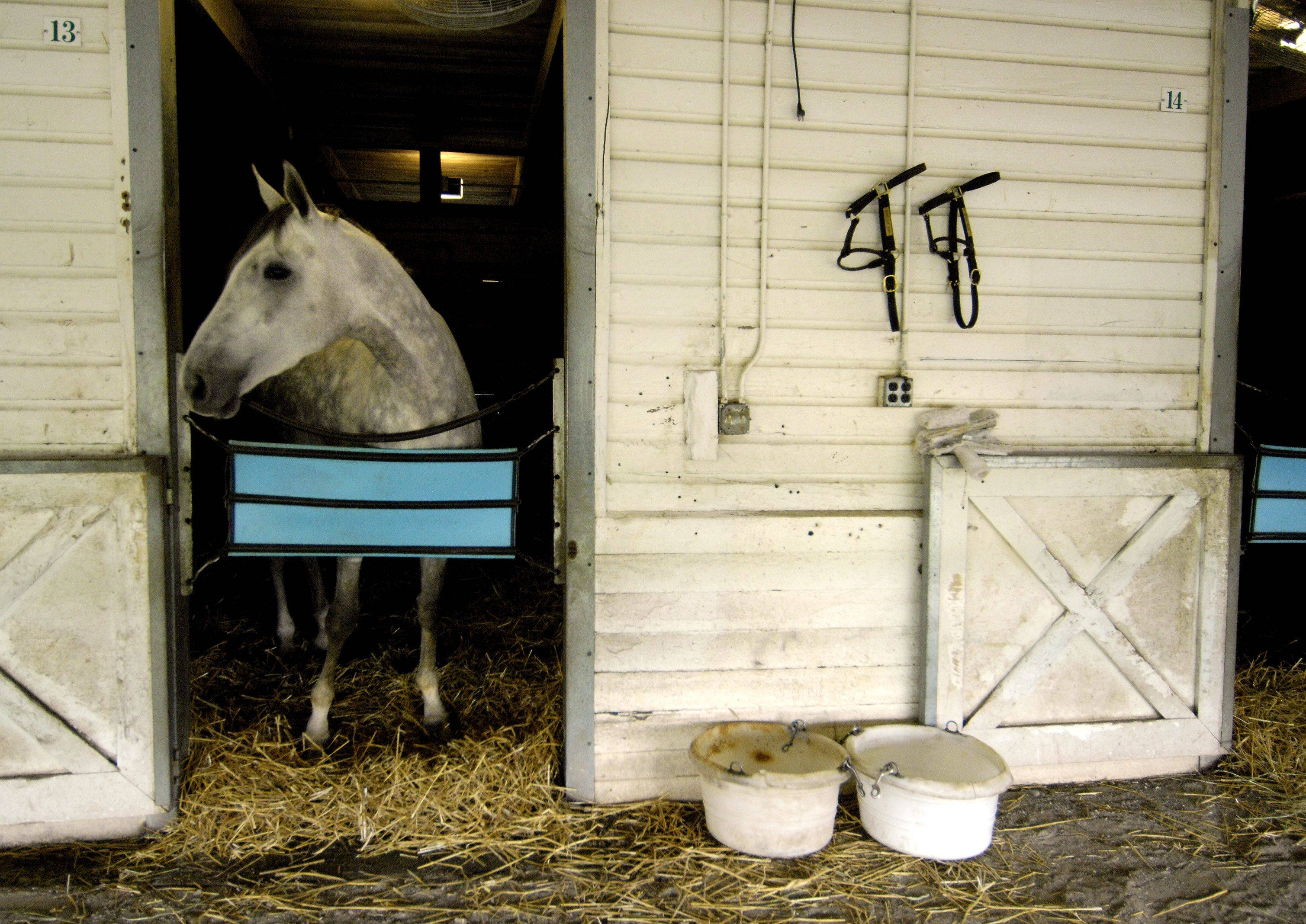 """Riding The Wind"" peers out of his stall on Arlington Park's backstretch."