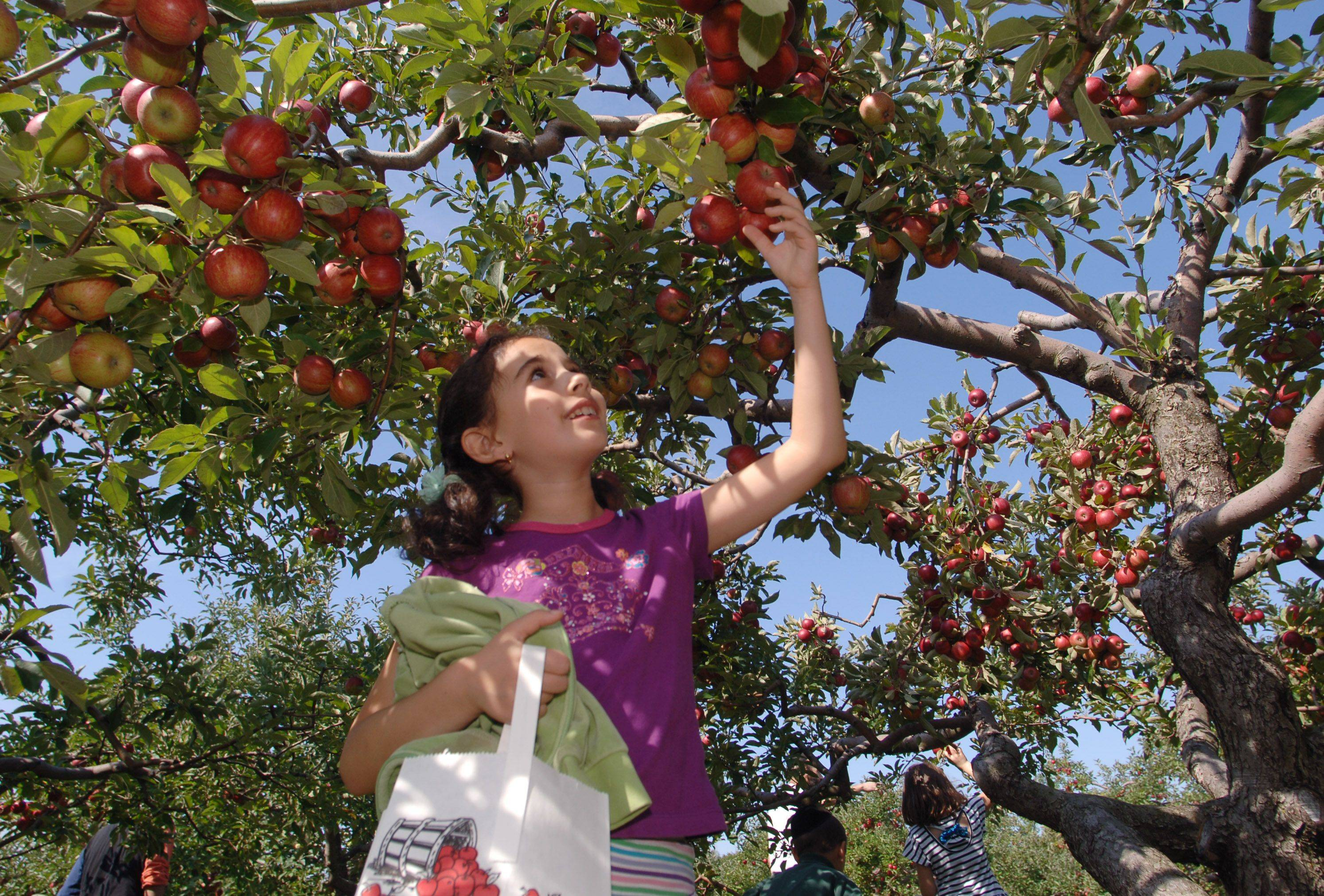 Mia Grossman, 8 of Buffalo Grove, loves picking the apples and is looking forward to eating them with honey on Rosh Hashana.
