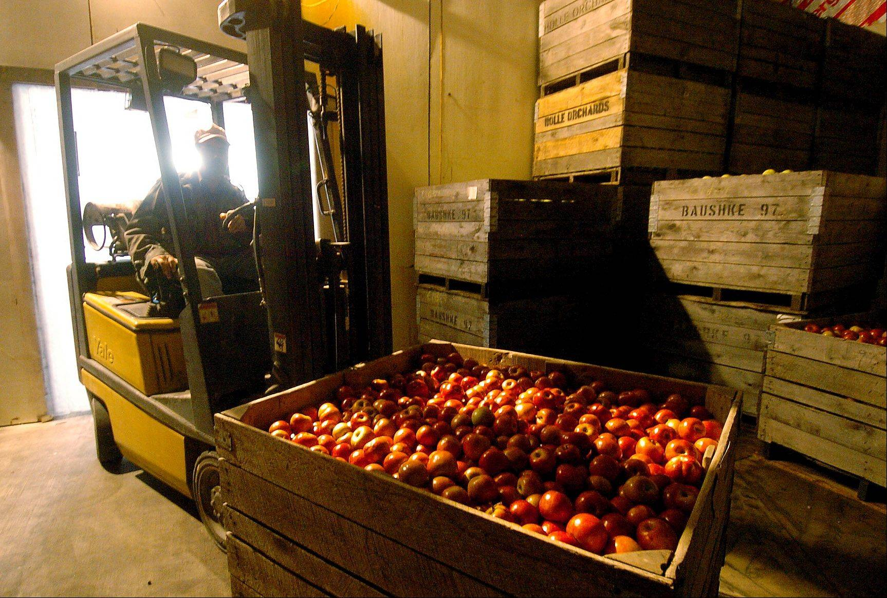 Manuel Rivera brings in a bin of apples into the cooler to be processed later into apple cider at Kuipers Family Farm in Maple Park.