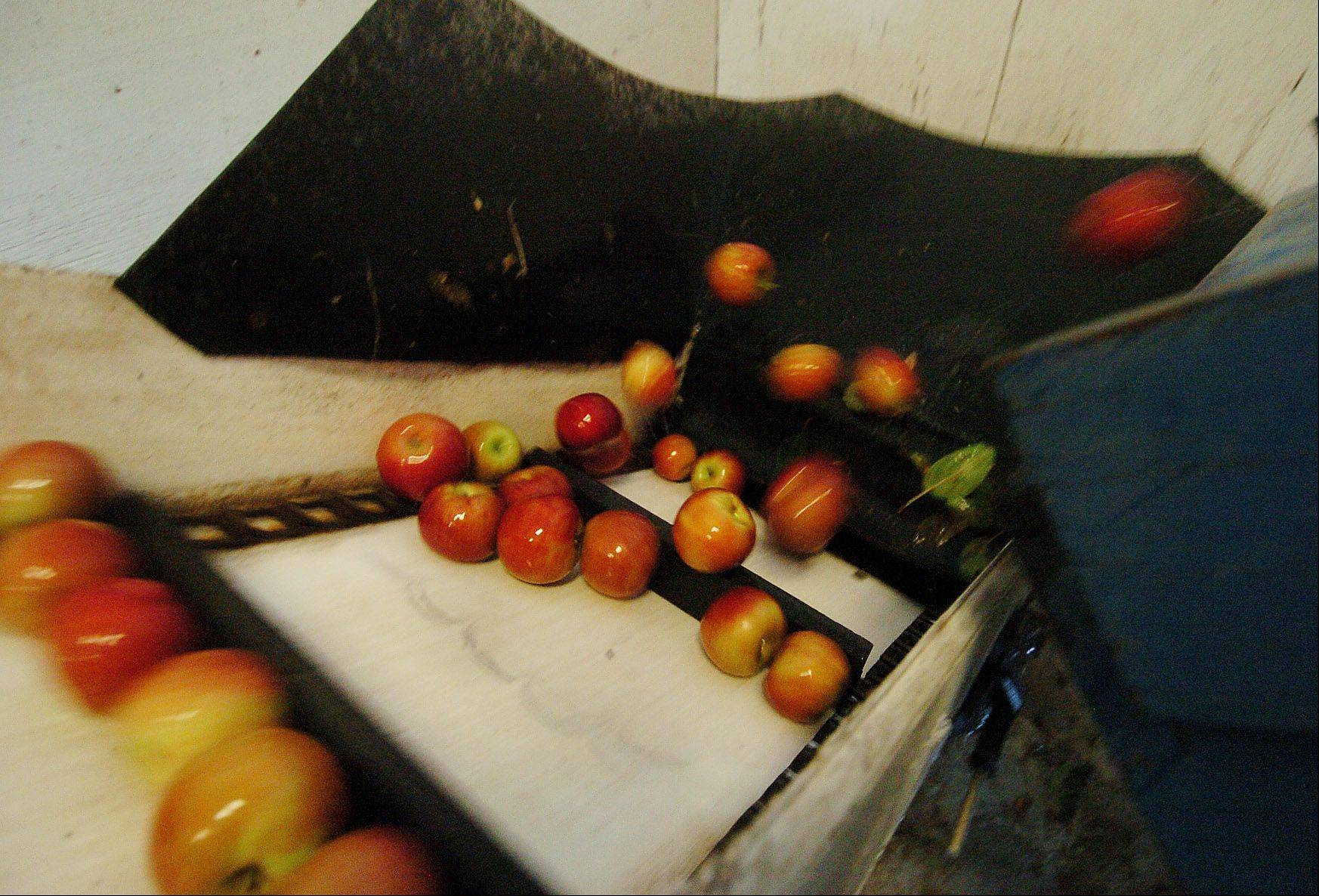 Apples come flying out of the washer and up a conveyor belt to the grinder where the juice is extracted from the apples.