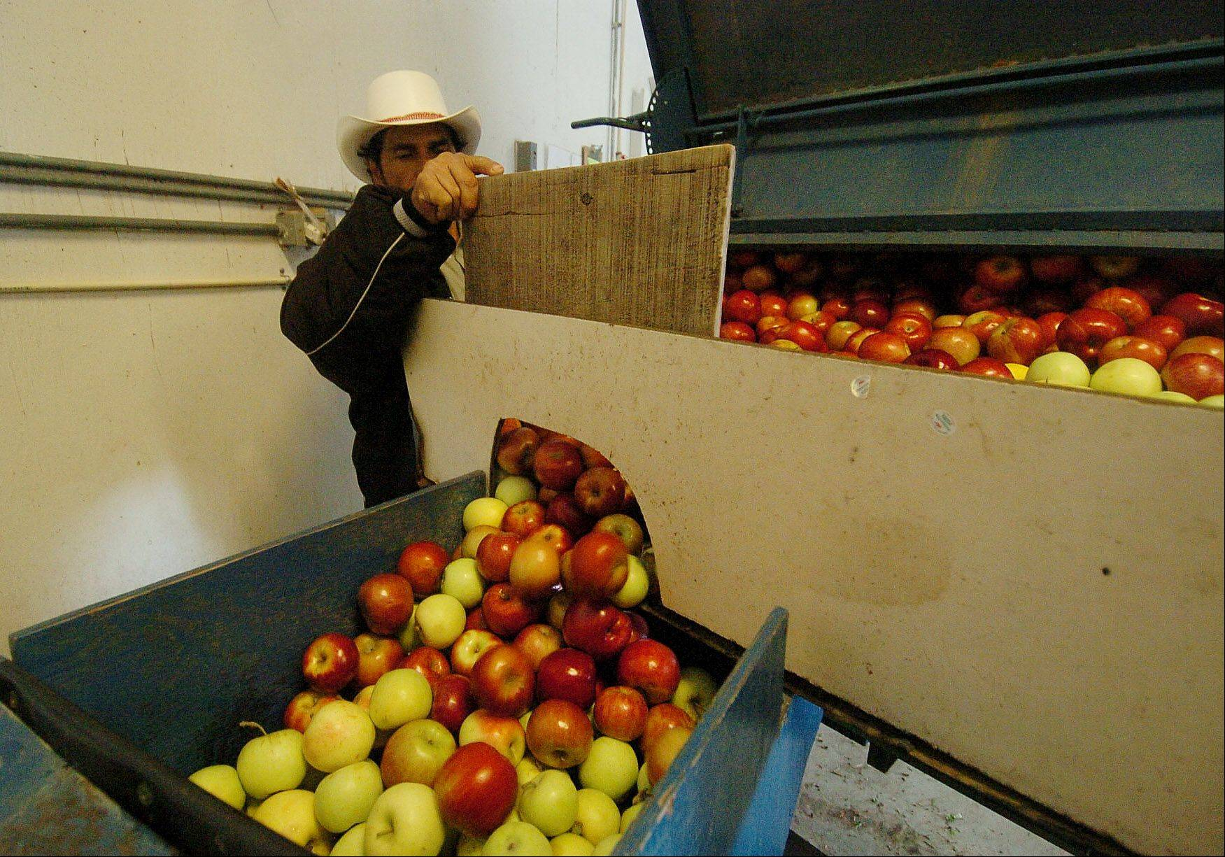 Alfonso Umana loads the apple washer with apples to be washed and processed into apple cider at Kuipers Family Farm in Maple Park.