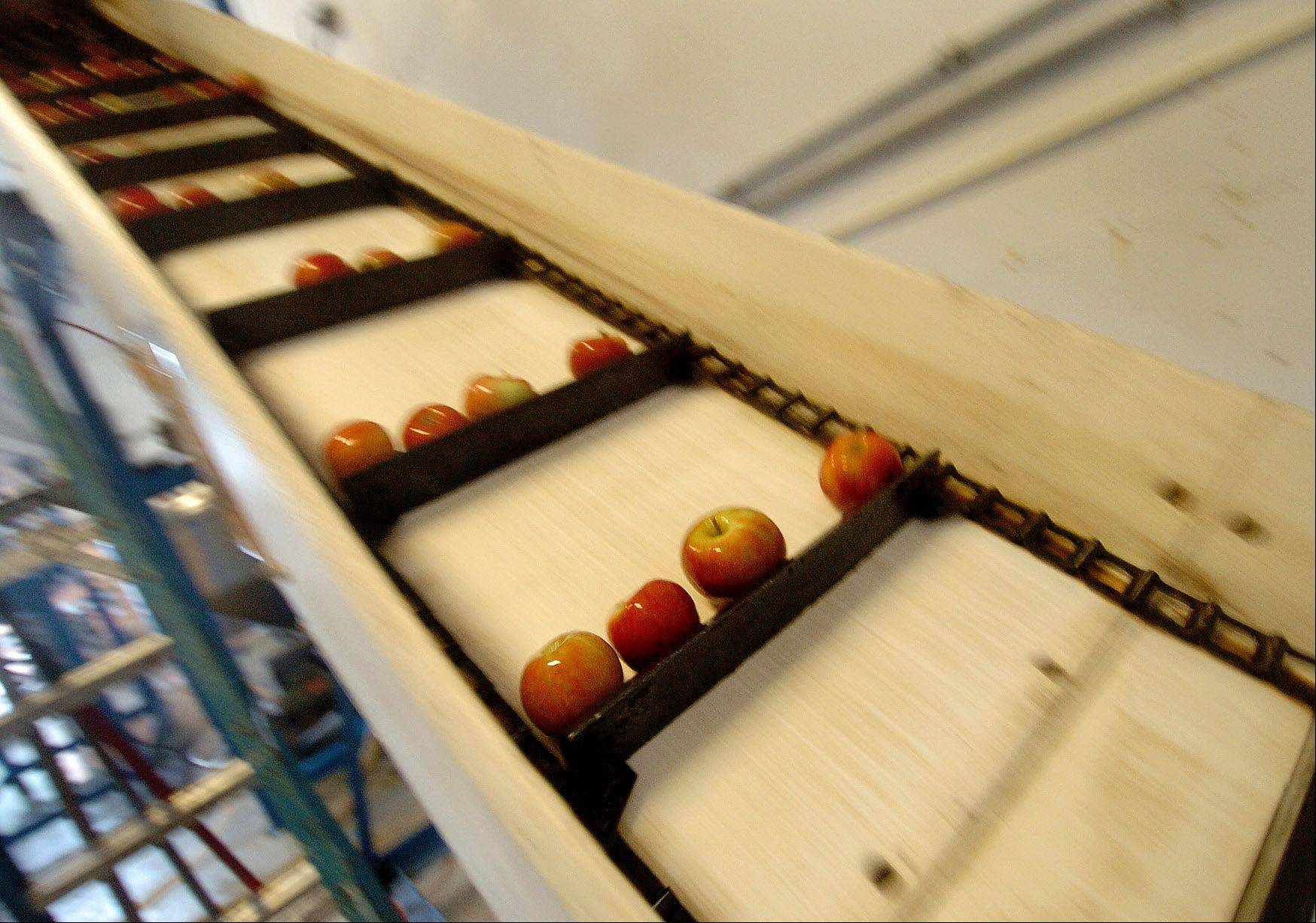 Apples travel up the conveyor into the grinder where the juice is extracted from the apples.