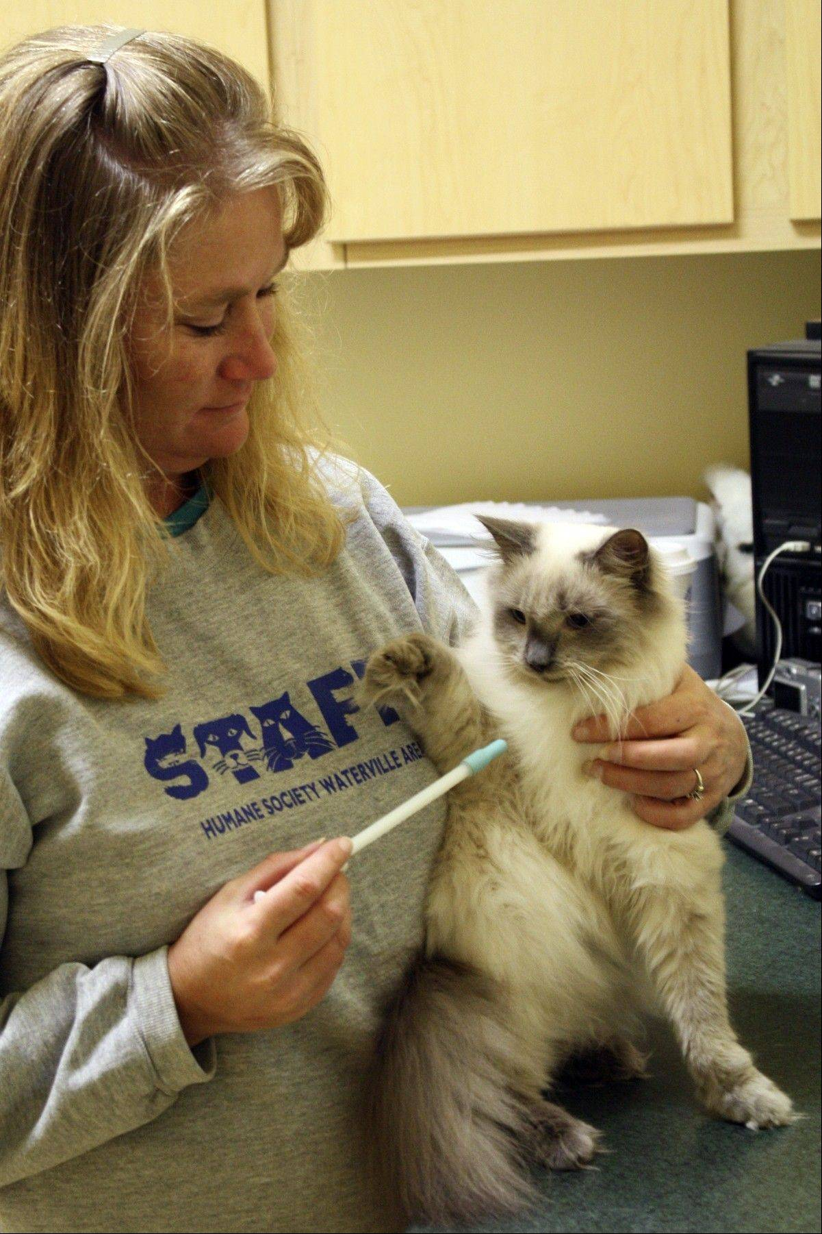 Humane Society of Waterville animal care technician Susan Wyman ttempts to give shelter cat Birch a pill Tuesday in Waterville, Maine. Wyman is using a pill syringe to administer the pill quickly. There is no question cats are harder to medicate than dogs.