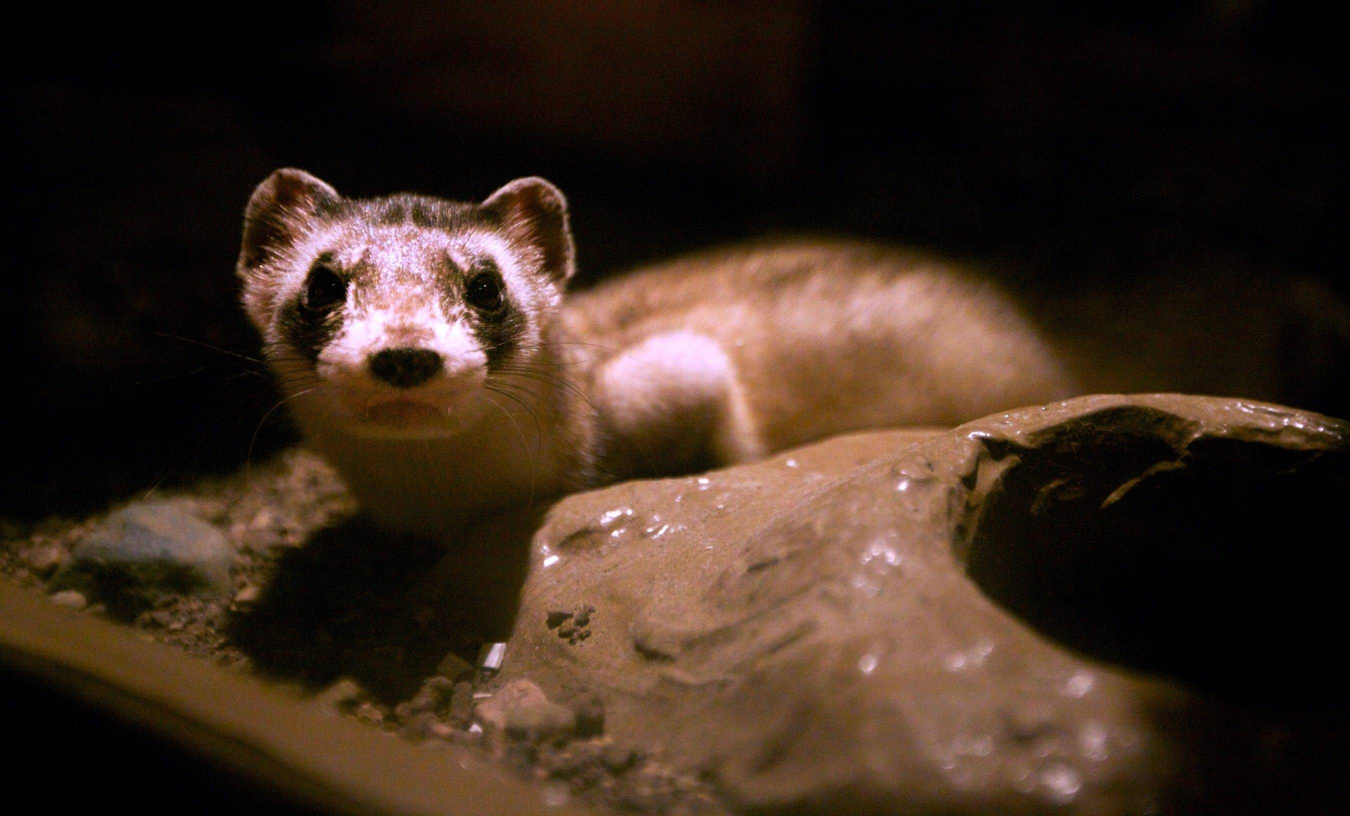 Mr. Brightside, named after a song by The Killers, sits in a display Saturday at the Ben Reifel Visitors Center at Badlands National Park in Interior, S.D. He is one of about 300 endangered black-footed ferrets kept in captivity for mating purposes.