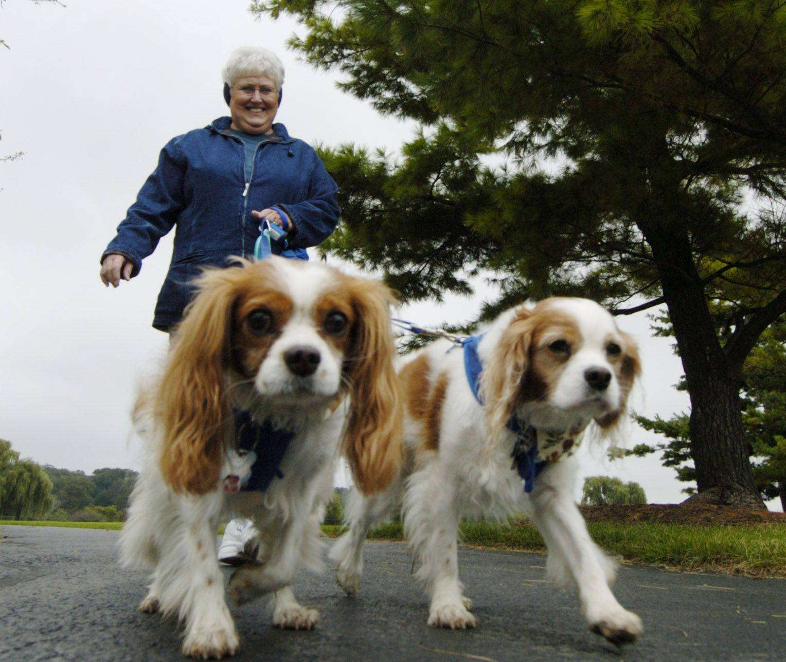 JOE LEWNARD/jlewnard@dailyherald.com Marie Brestel of Aurora walks her dogs Monty, left, and Danny, during �Barkapalooza,� the West Suburban Humane Society�s annual dog walk and pet expo at Lisle Community Park.