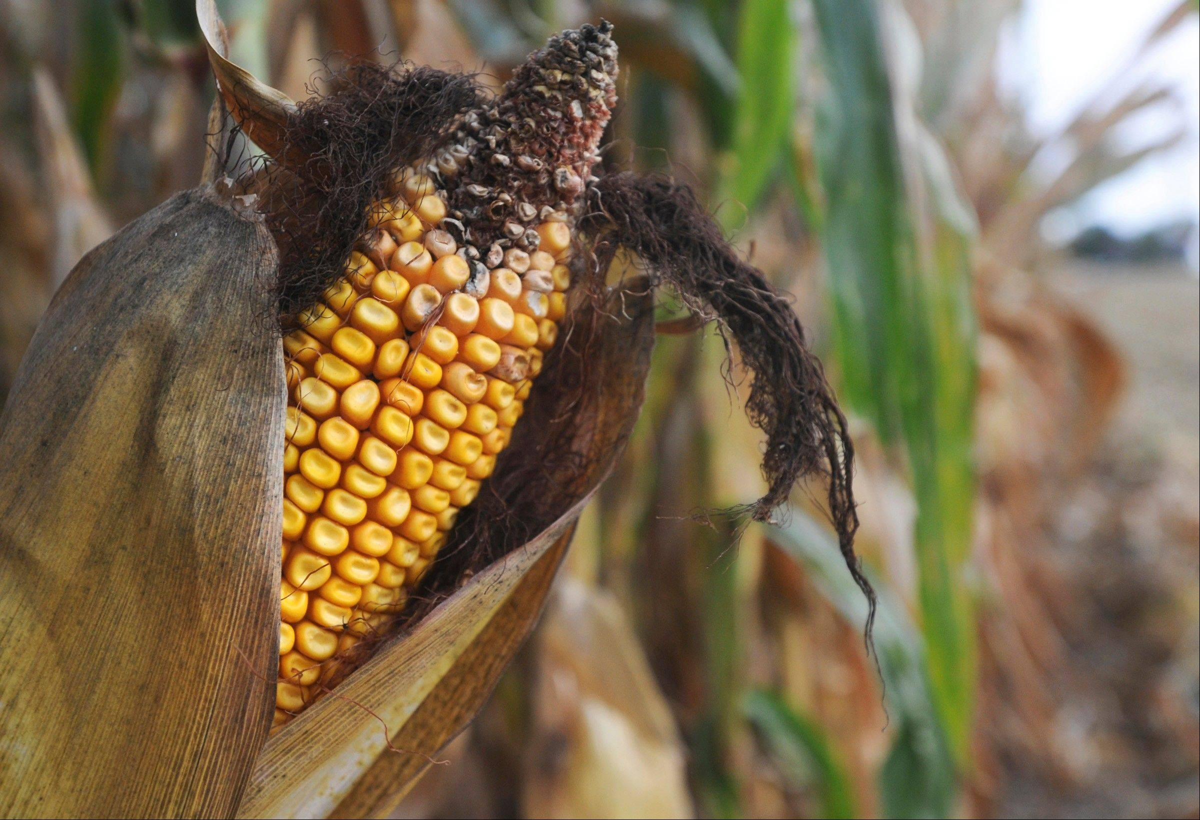 "Corn is ready to harvest in a field near Mackinaw, Ill. The state crop report Monday said that the Illinois corn yield for September is down due to ""exceptionally hot weather"" while much corn was pollinating."