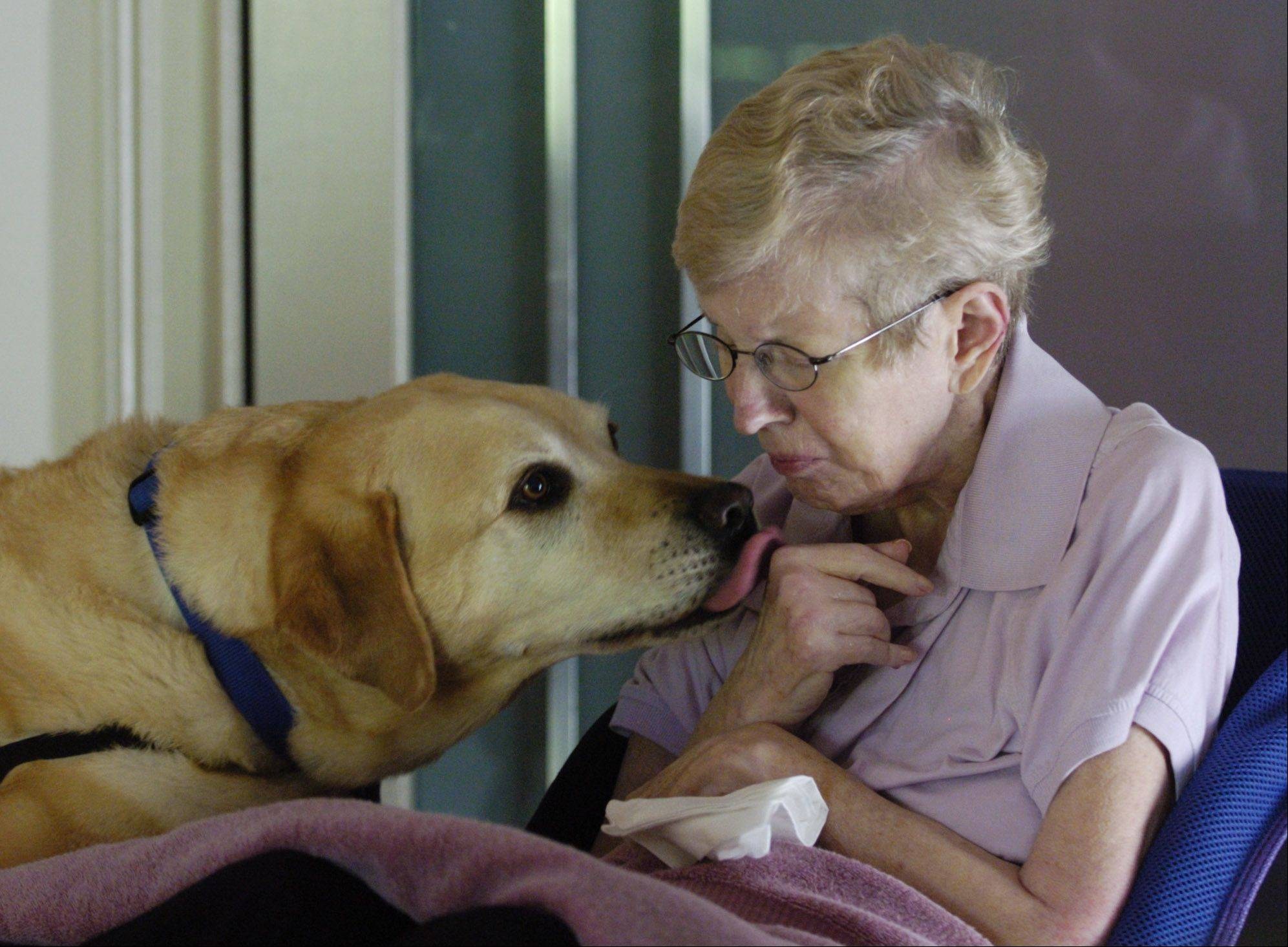 Zurich, a yellow Labrador retriever and a constant companion and helper to Patti Kennedy of Des Plaines, is one of eight finalists for the American Humane Association Hero Dog Awards.