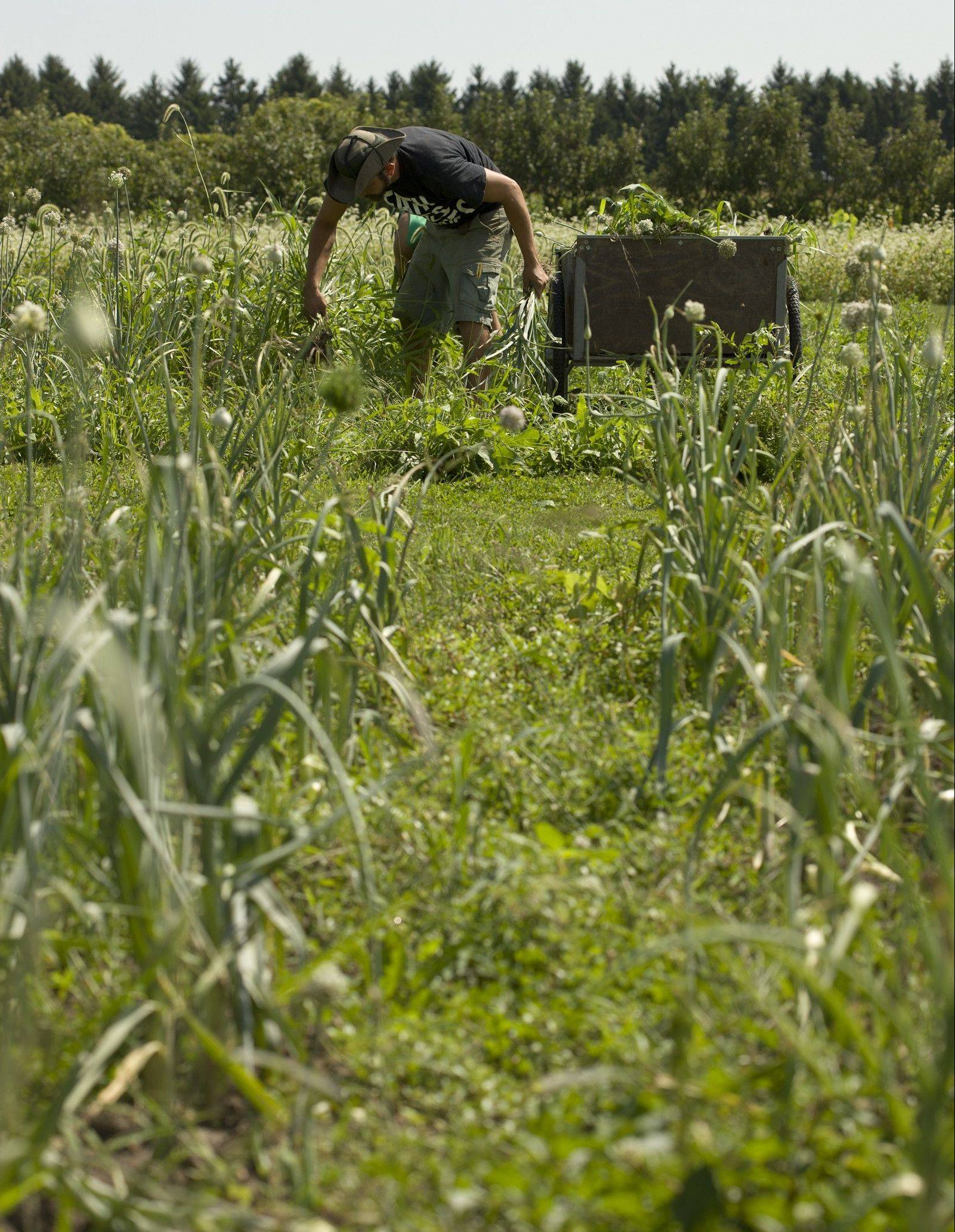 A Big Bowl employee harvests onions at Heritage Prairie Farm. The onions were used hours later for dinner.
