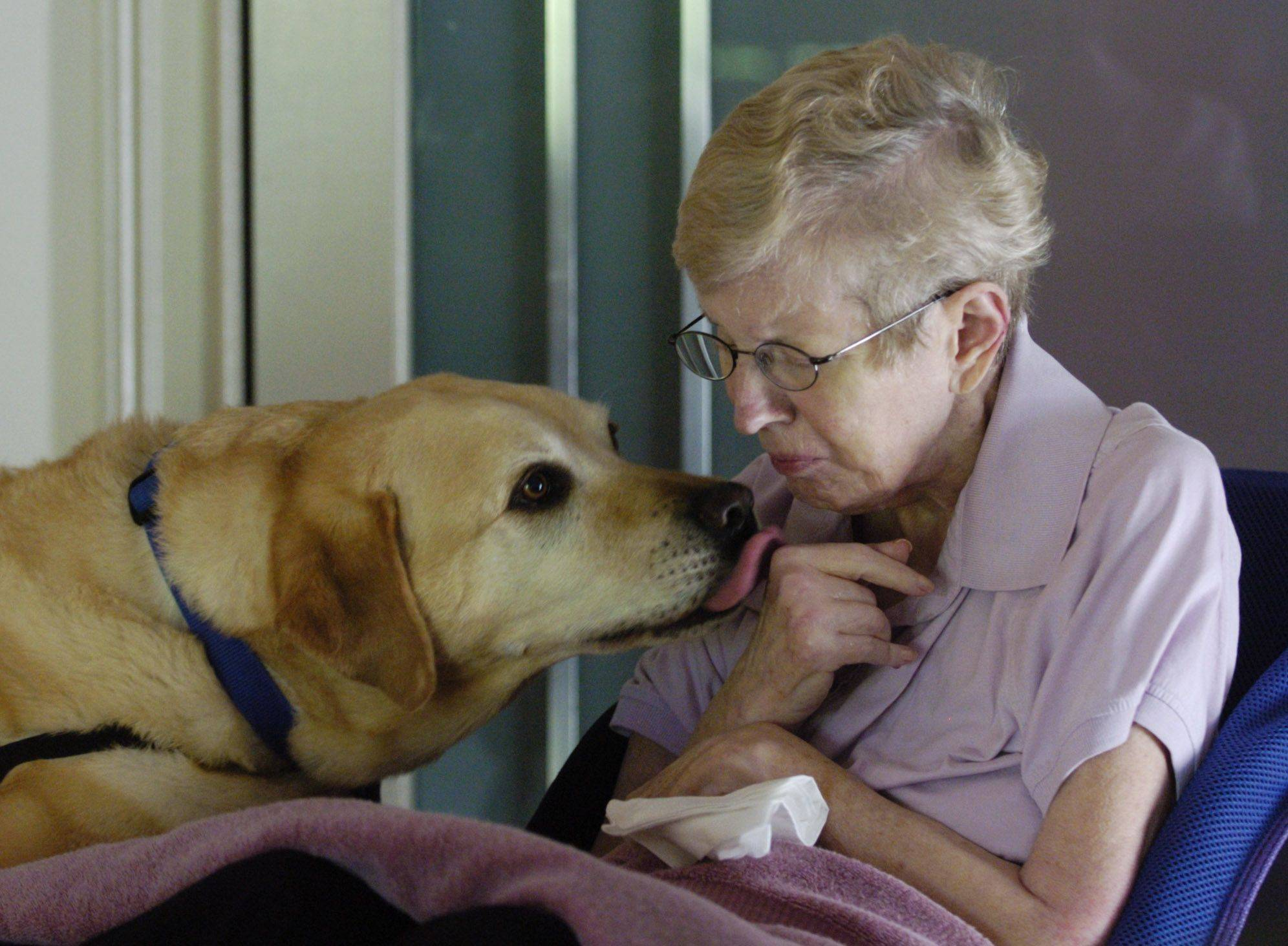 Zurich, a yellow Labrador retriever who is the constant companion and helper of Patti Kennedy of Des Plaines, was among eight finalists in the first American Humane Association Hero Dog Awards.