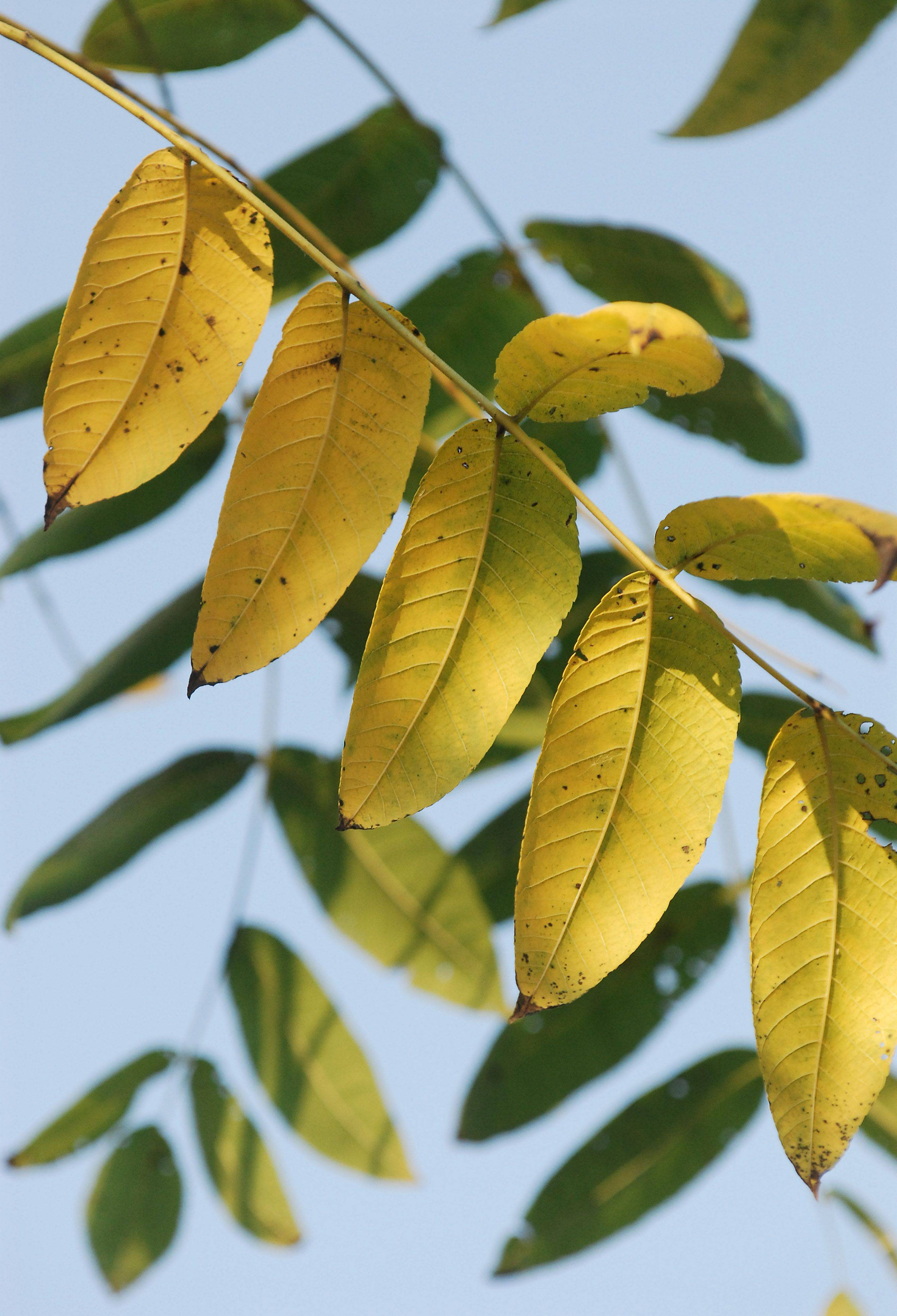 A few yellow leaves on a black walnut tree cling. Most black walnut trees have lost their fruit by now, and many have already lost their leaves. These leaves were clinging to the top branches and were the very last on the tree.
