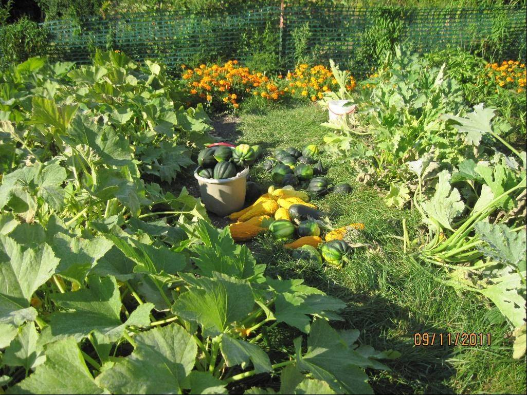 A bounty of squash is harvested.