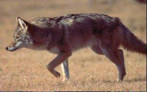Could the Northwest suburbs' commonly seen coyotes be the inspiration for Schaumburg's new baseball team name and mascot?