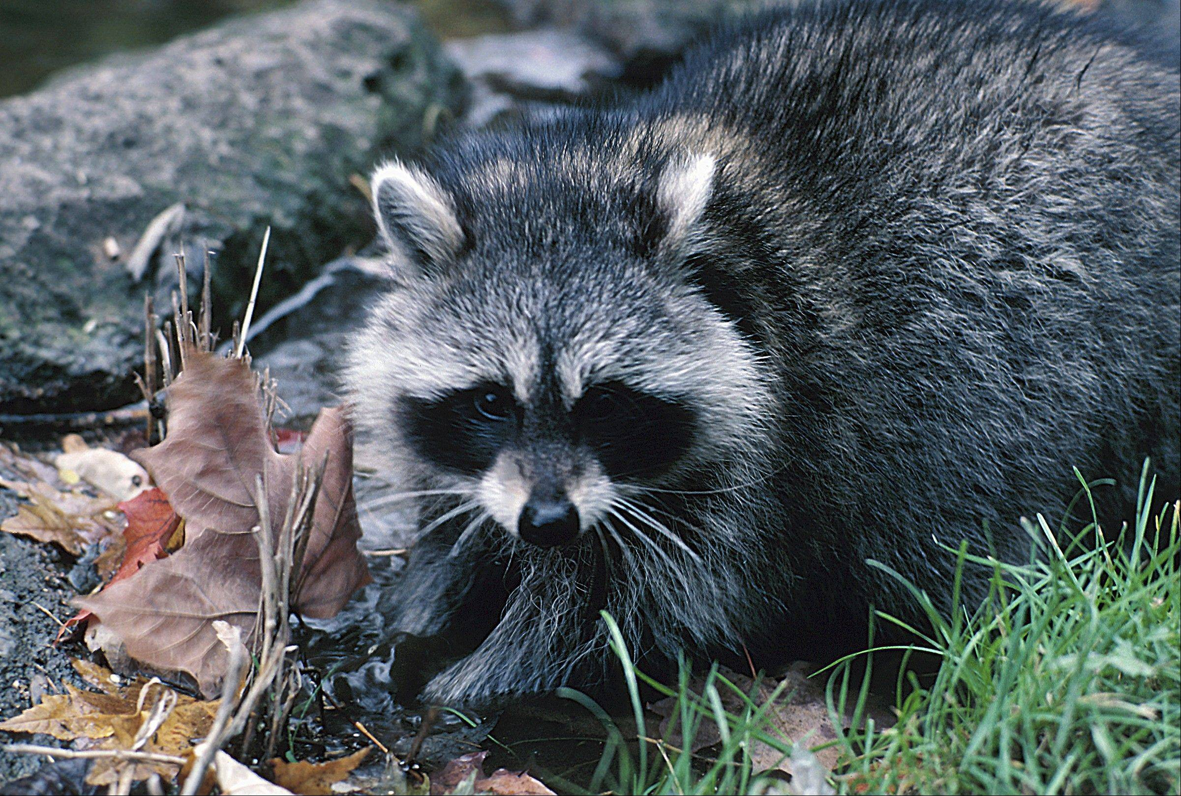The raccoon has an undeniable cute factor -- unless they are standing on your garbage cans sneering at you. But would you go out to root for them?